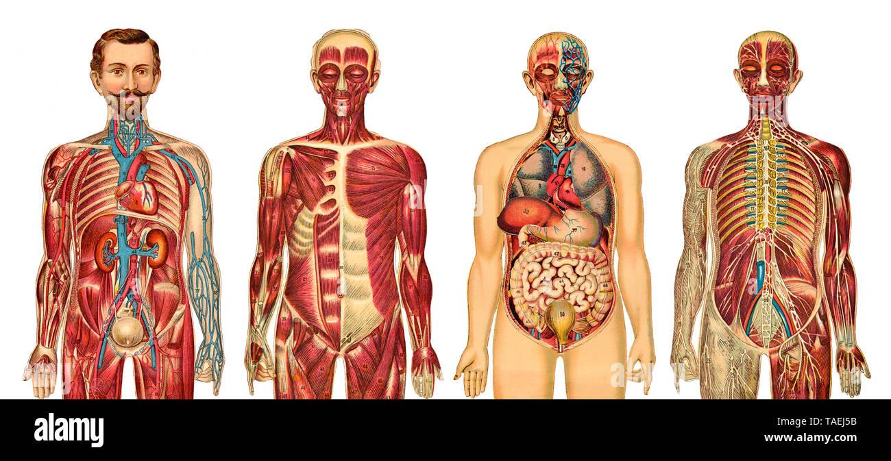 Anatomie, medizinische Illustration des Menschen, einige anatomische, medizinische Darstellung des Mannes Stockbild