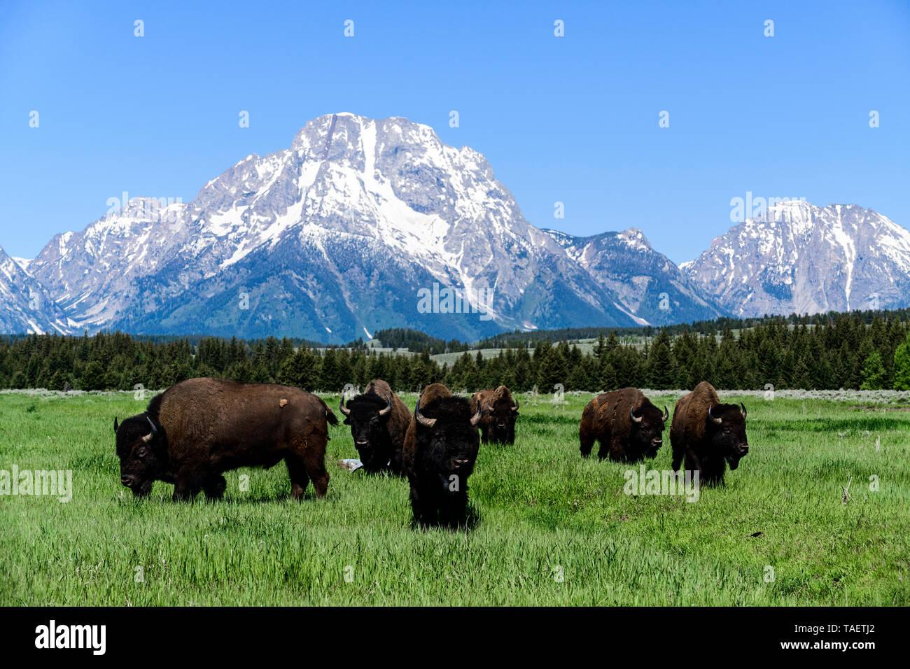 Eine Herde Bisons in einem Feld mit Mt. Moran im Hintergrund im Grand Teton National Park in der Nähe von Jackson Hole, Wyoming USA. Stockfoto
