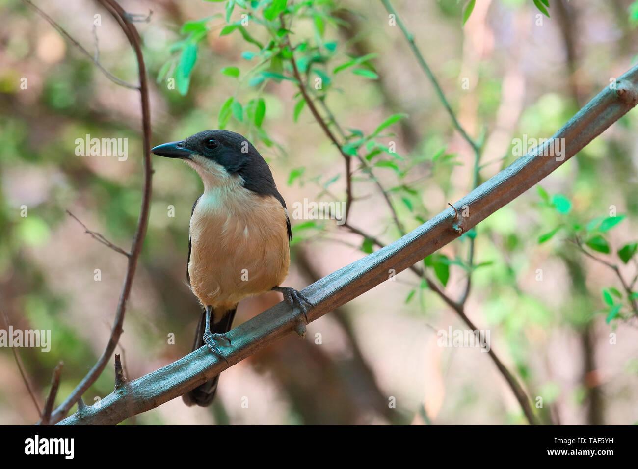 Südliche Boubou (Laniarius Art) thront nach Beobachtung in einem Busch, Südafrika Stockfoto