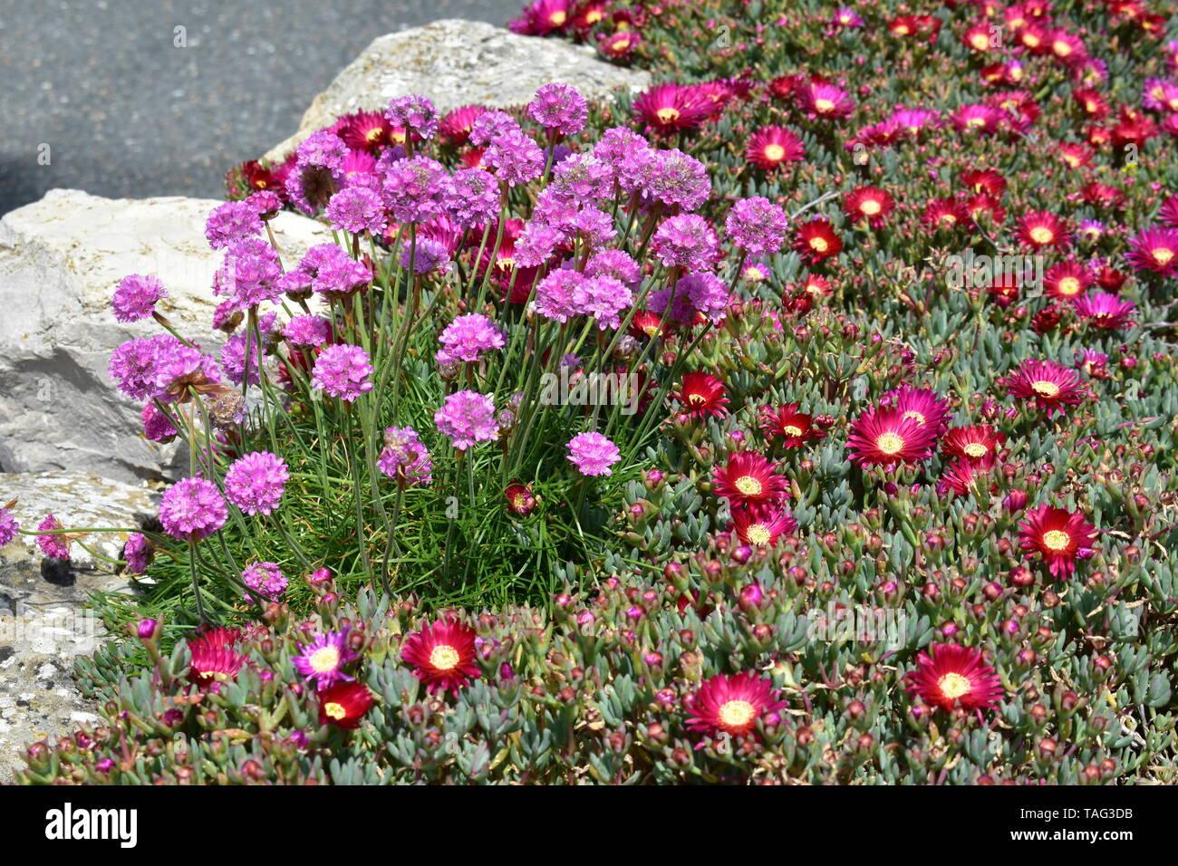 Blumen in Ventnor Esplanade und Wintergärten, Isle of Wight, Großbritannien. Stockfoto