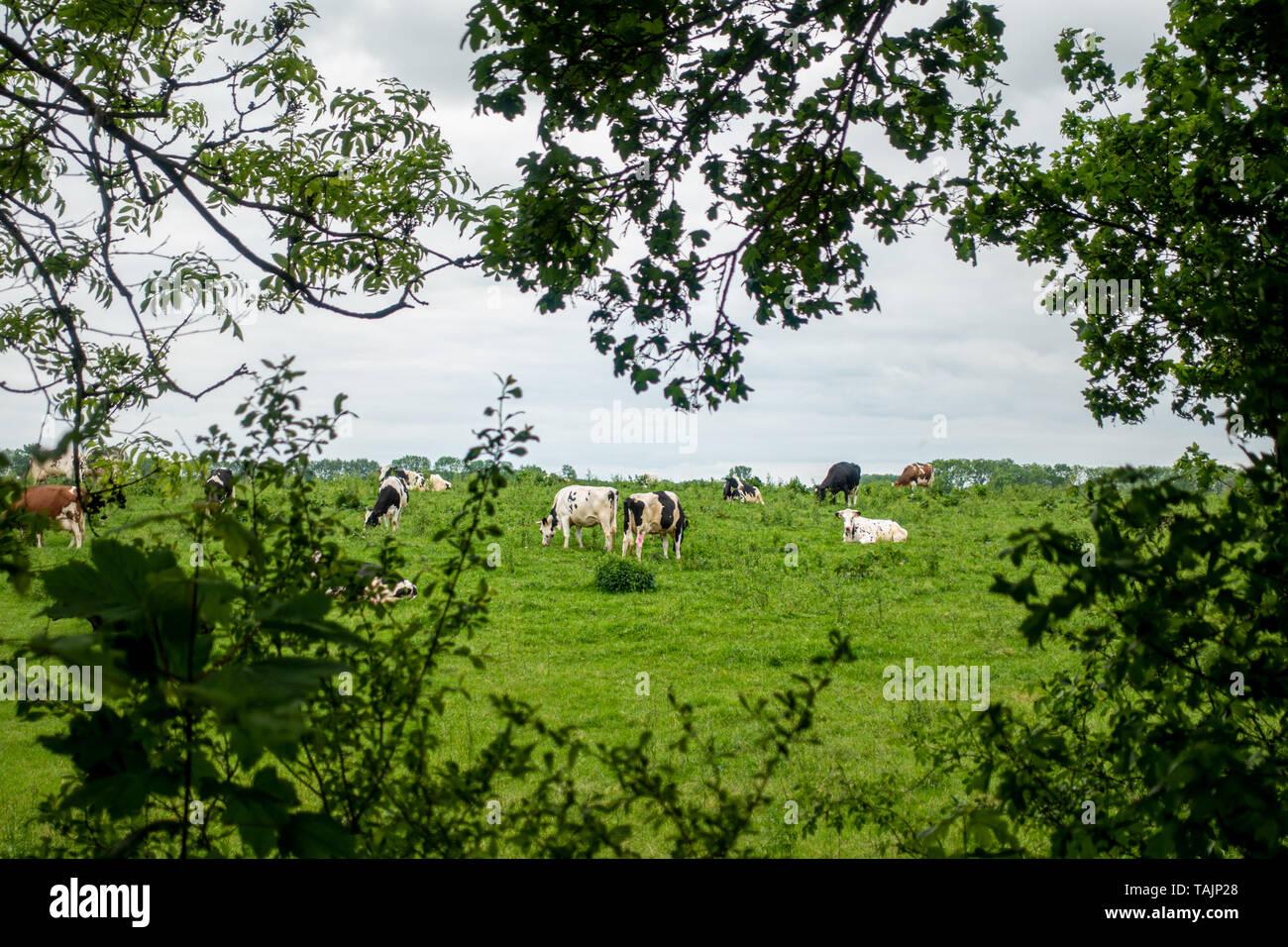 Eine Herde von schwarze und weiße Kühe steht auf einer grünen Wiese, und der Himmel ist bedeckt Stockfoto