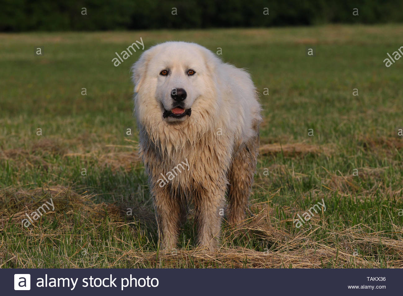 MAREMMA SHEEPDOG Stockbild
