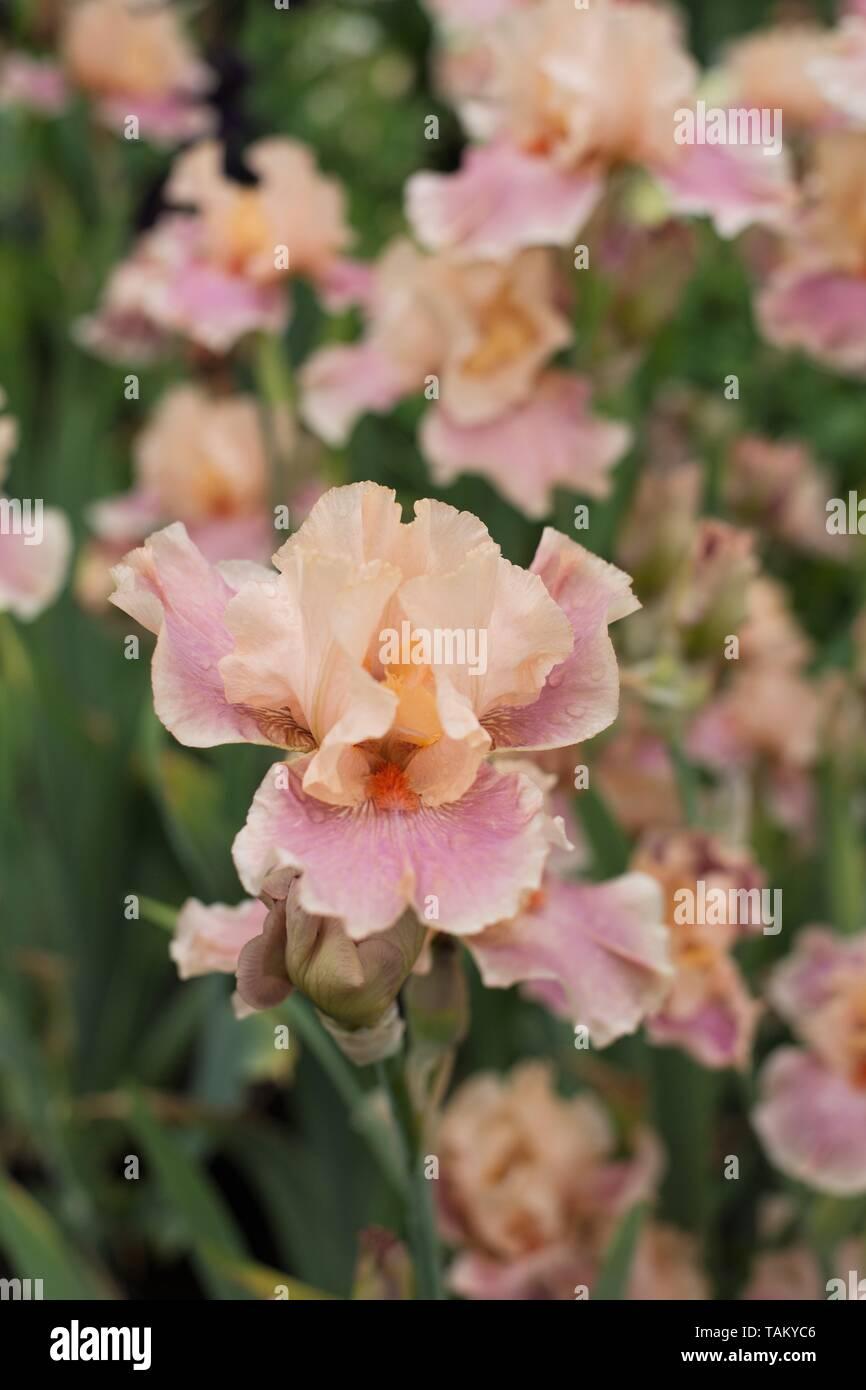 """Iris' mit dem Titel """"bei Schreiner Iris Gärten in Salem, Oregon, USA. Stockbild"""