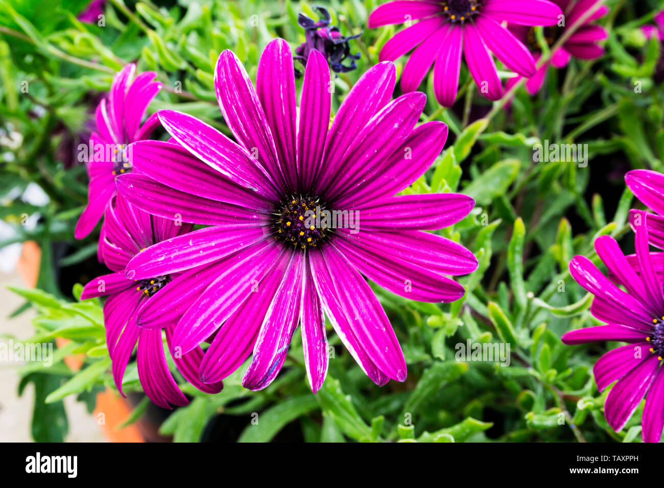 Osteospermum 'Tresco Purple' Stockfoto