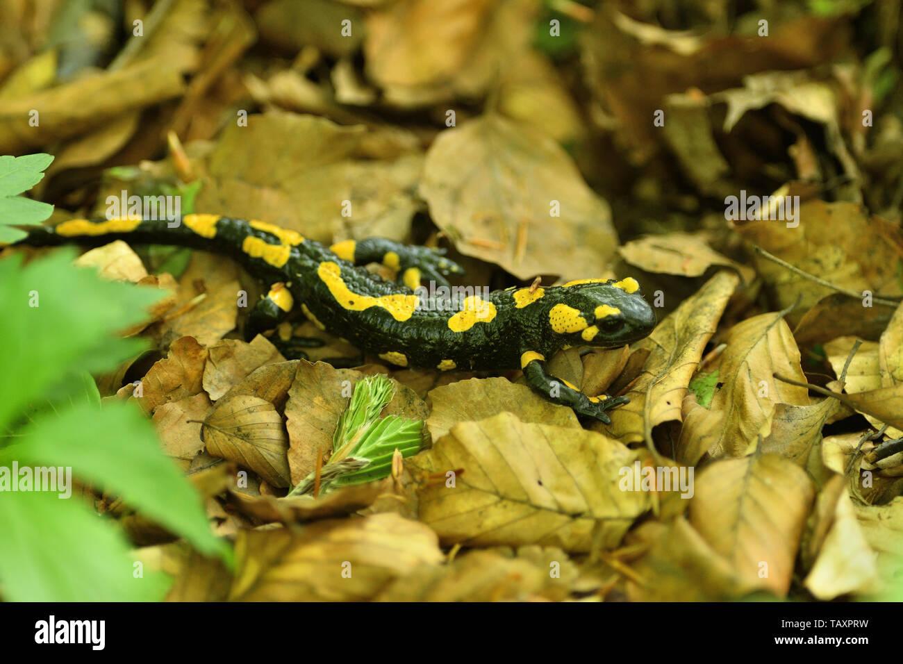 Salamandra Eidechse kriecht durch die Blätter im Wald Stockfoto