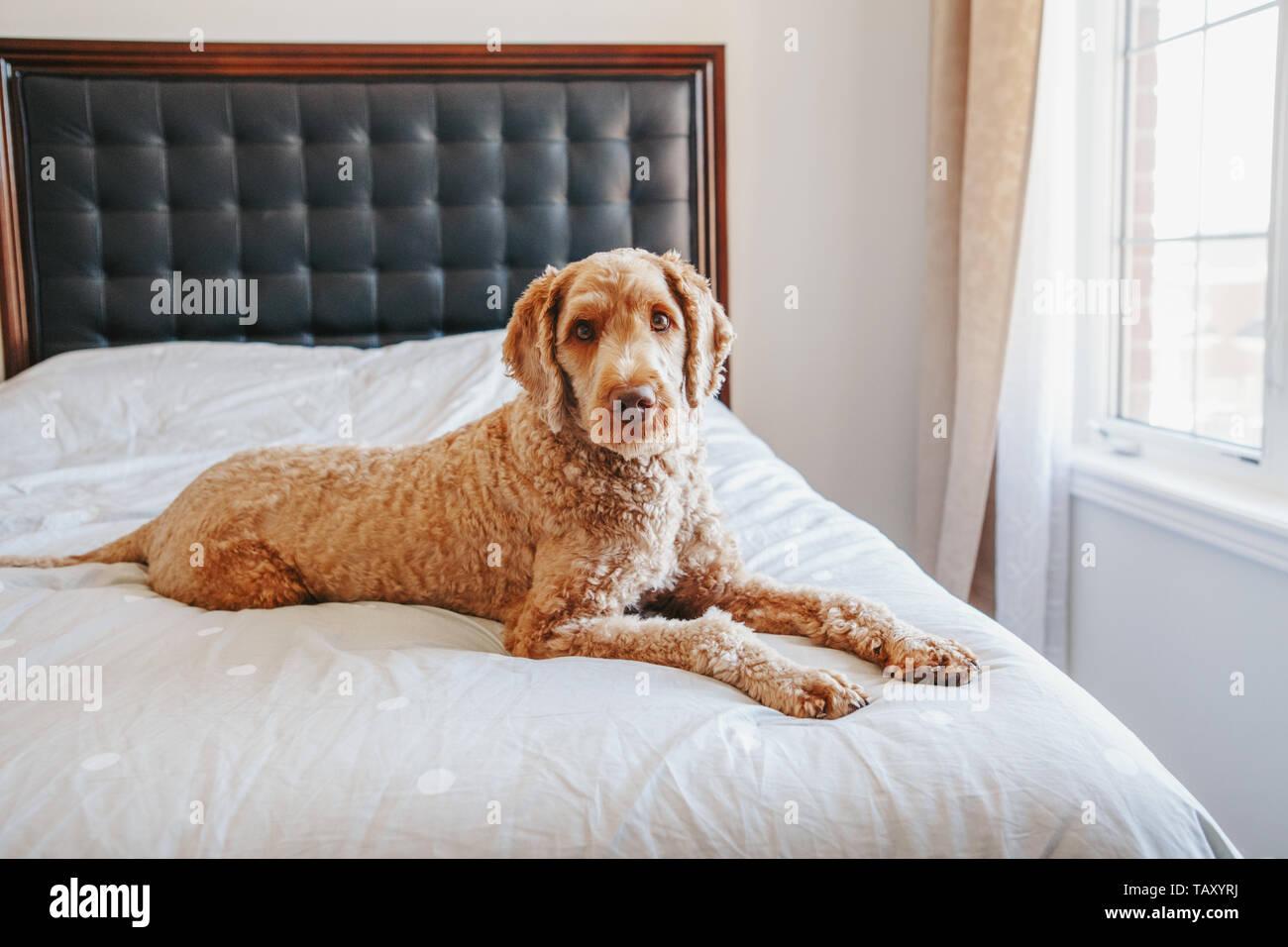 Cute adorable schamlose neugierig Rothaarige Hund auf ...