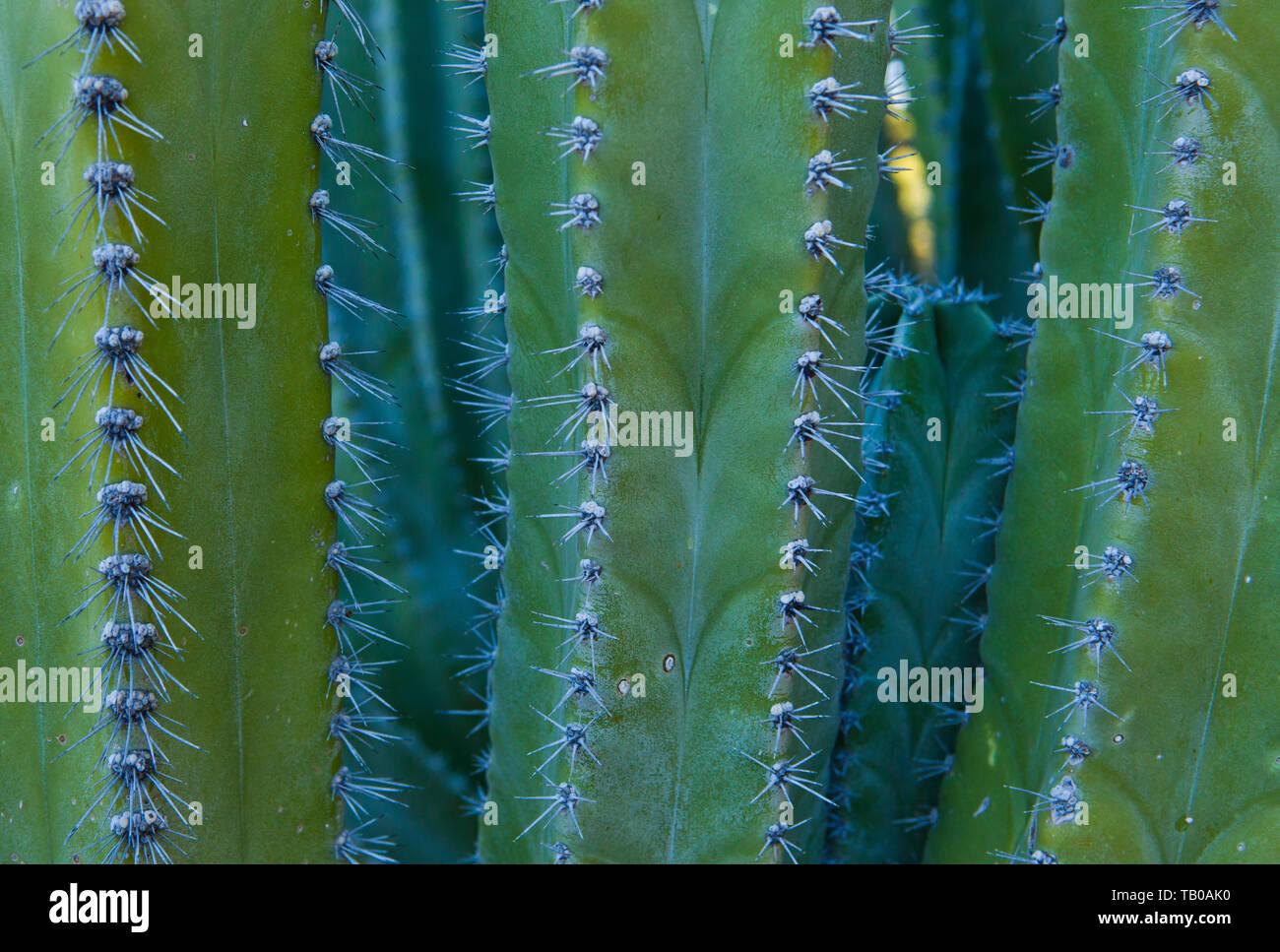 Cactus bei Phoenix Desert Botanical Gardens, Phoenix, Arizona, USA. Stockbild