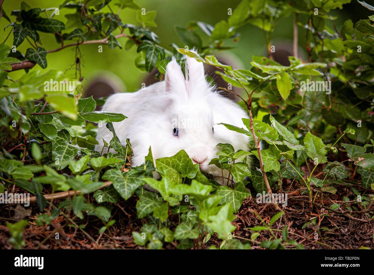Weißer Zwerg Kaninchen Stockfoto