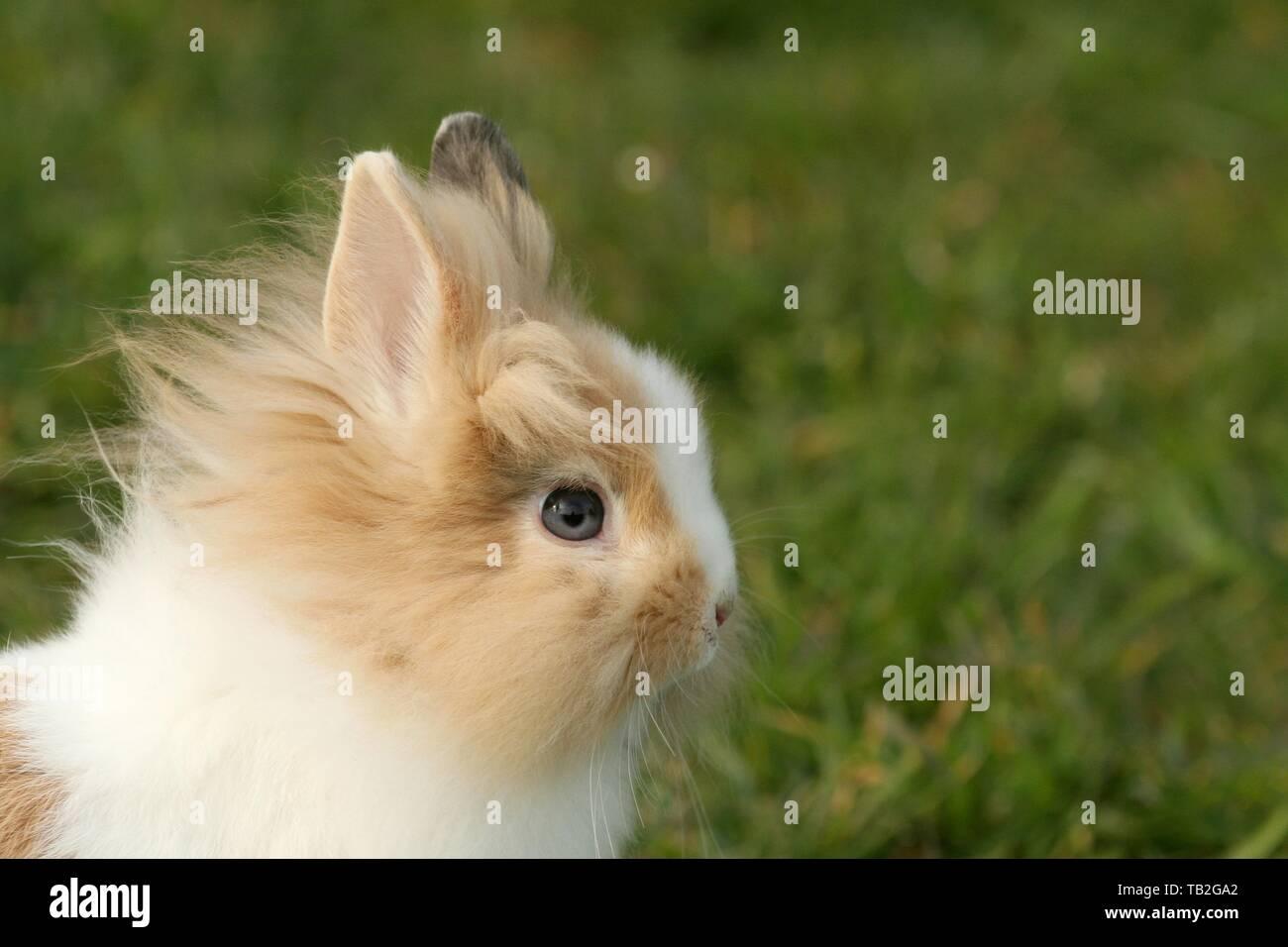 löwenköpfige Kaninchen Stockfoto
