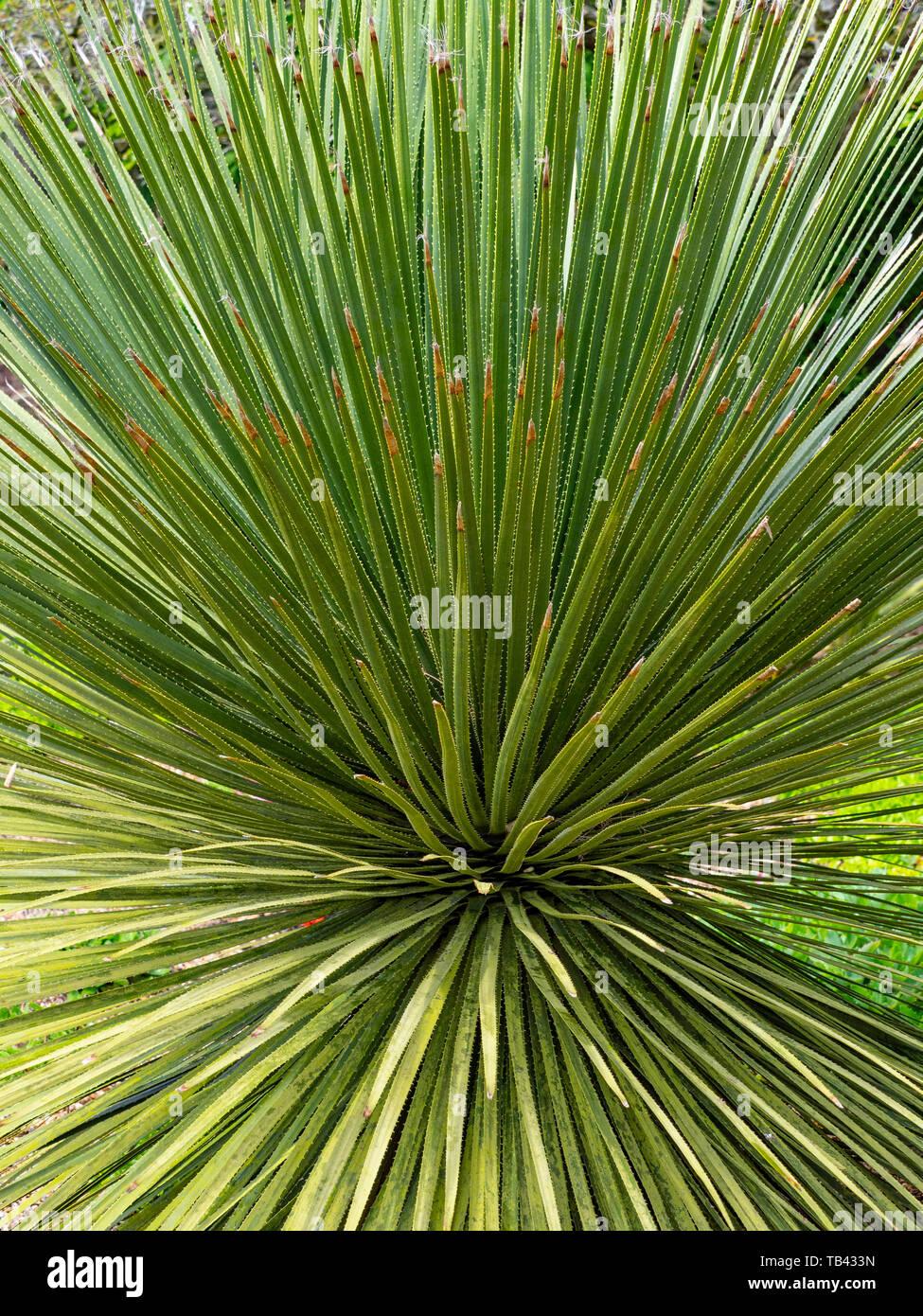 Dasylirion acrotrichum, die grosse Wüste Löffel wachsen in Norfolk Garten Stockbild