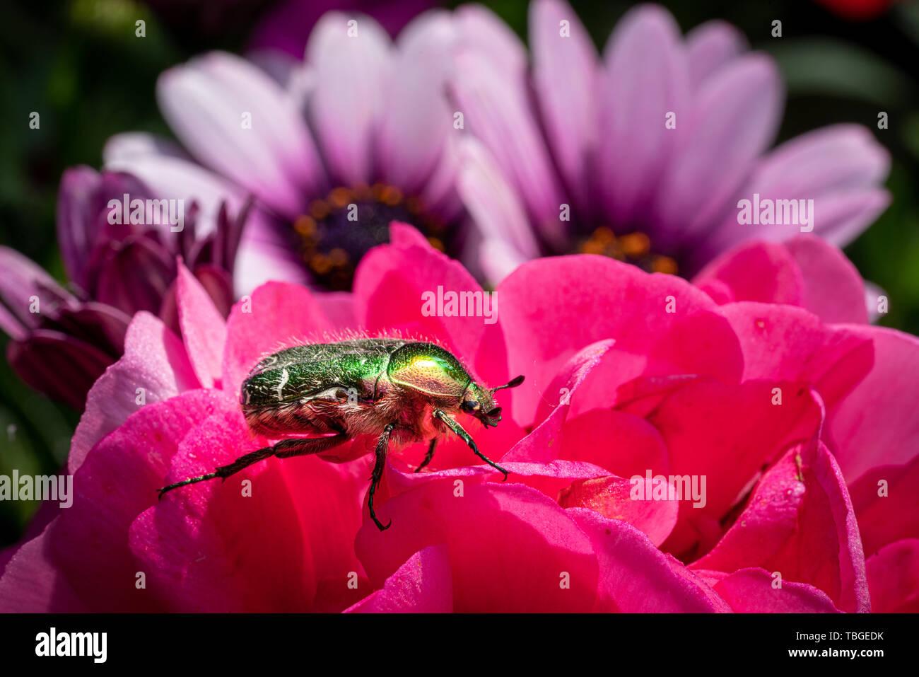 Eine goldfarbene rose Käfer sitzt auf einer roten Blume einer Blume in der Sonne Stockfoto
