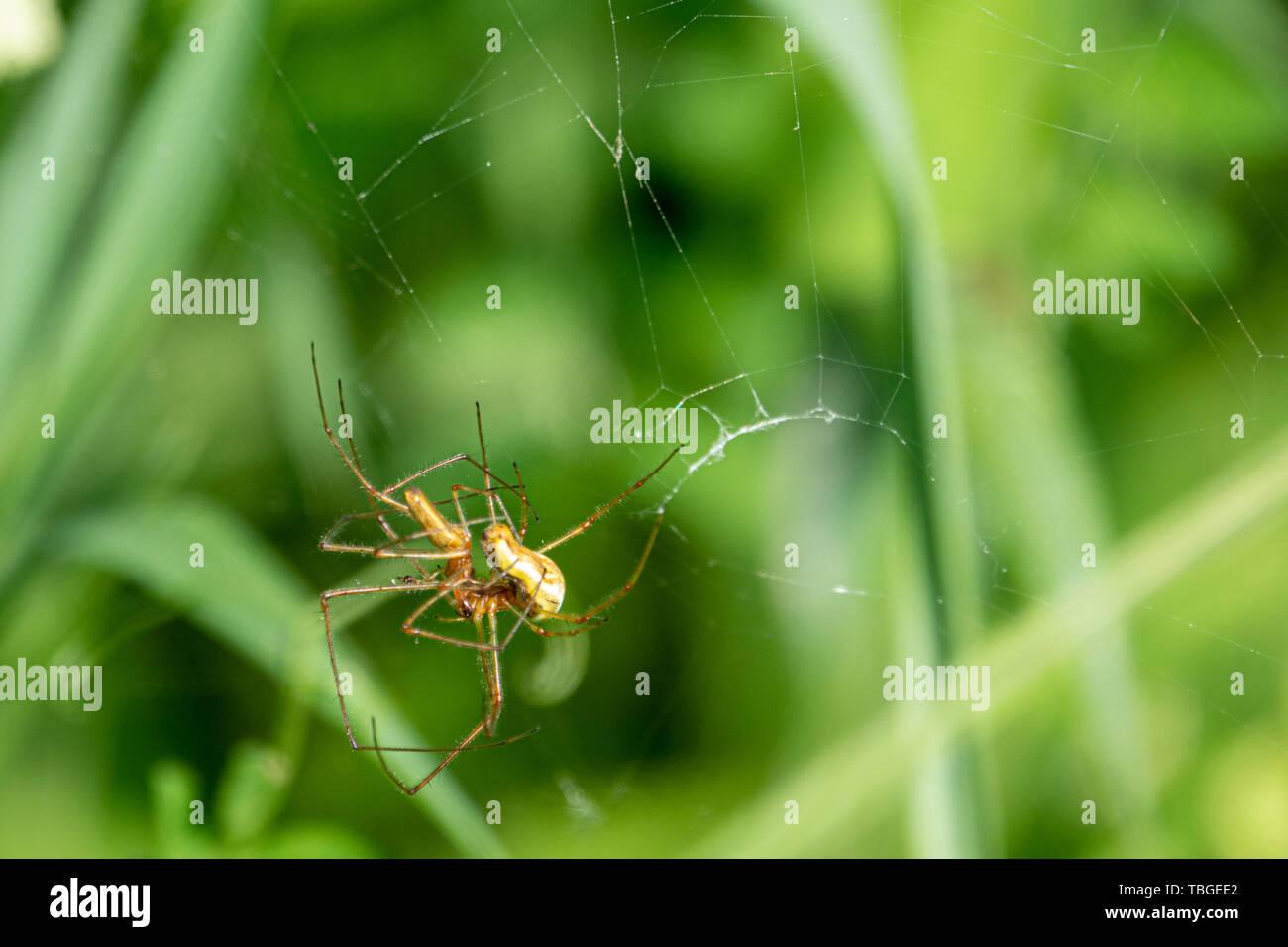 Zwei spinnen kopulieren in ihre Spinne im Grünen Stockfoto