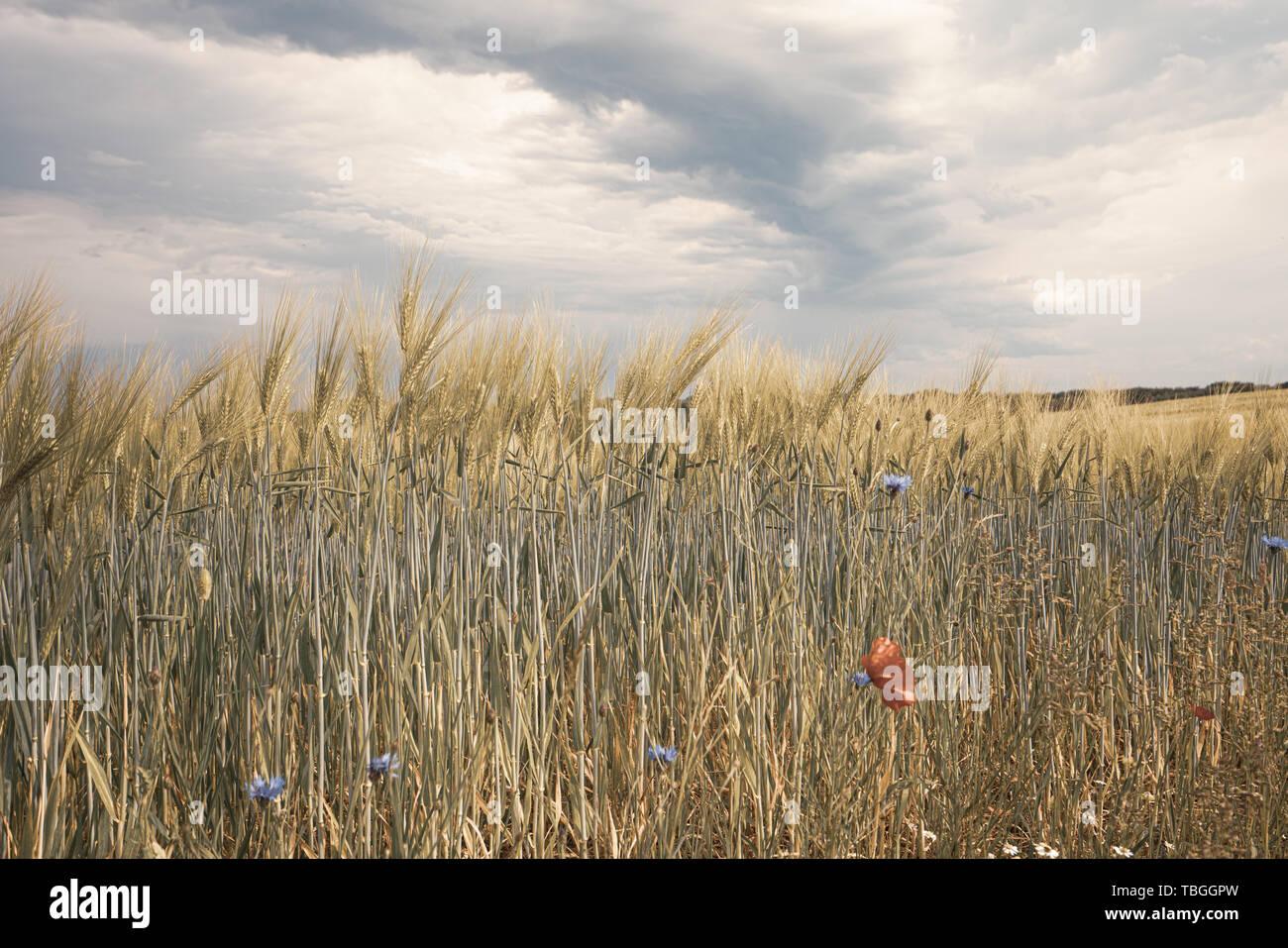 Dunkle Gewitterwolken ziehen über grüne Felder und rote Mohnsamen im Vordergrund hinweg Stockfoto