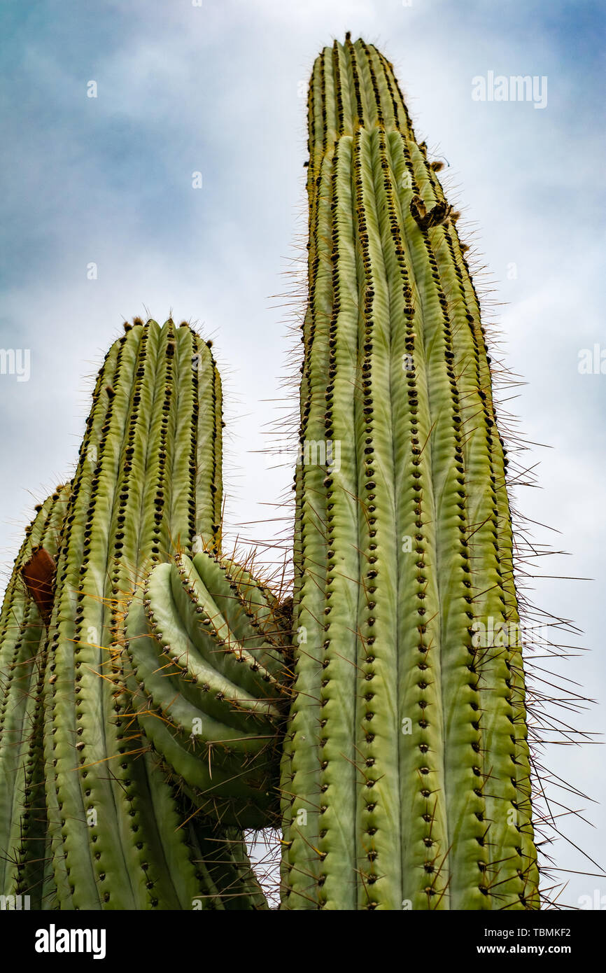 Saguaro Kaktus gegen bewölkter Himmel suchen der Blickwinkel in der Wüste Stockfoto