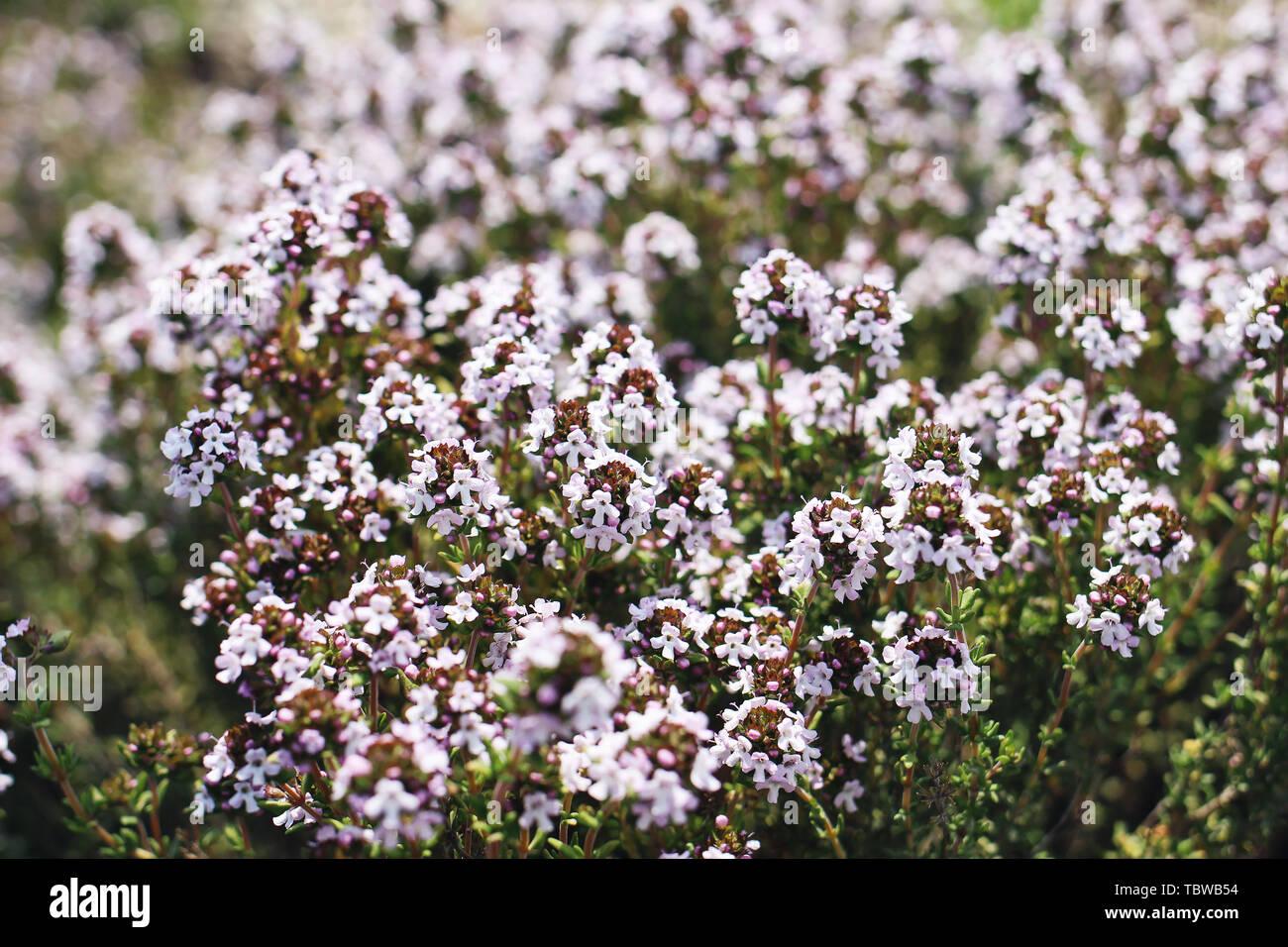 Etwas Neues genug Blühender Thymian Stockfotos & Blühender Thymian Bilder - Alamy @TX_81