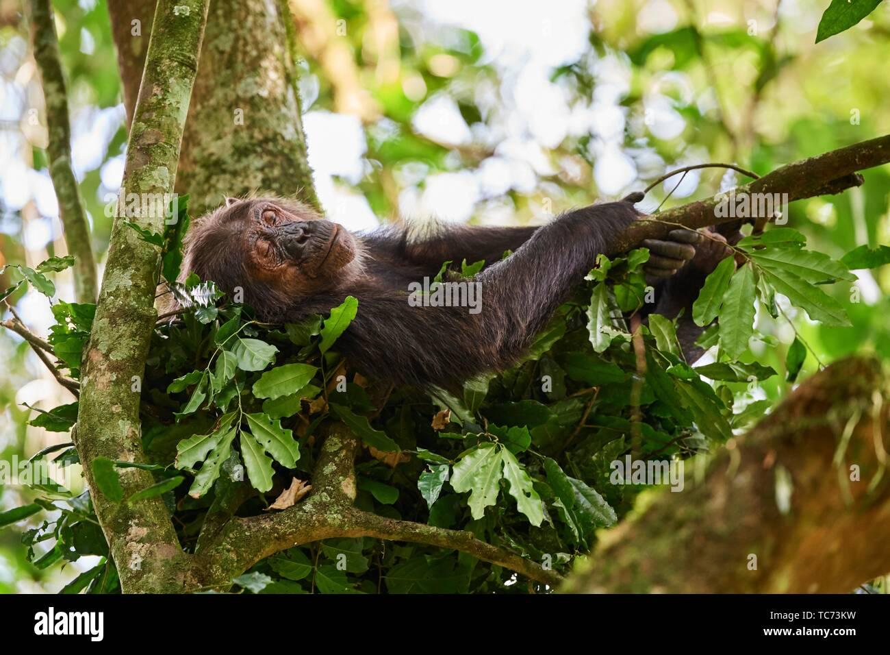 Weibliche Schimpansen (Pan troglodytes schweinfurthii) Schlafen in einem Nest in einem Baum gebaut. Kibale Nationalpark, Uganda. Stockbild