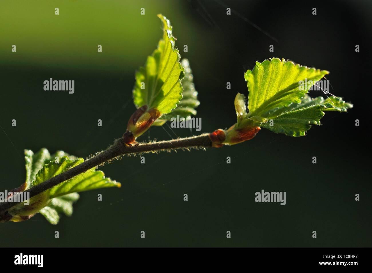 Kleiner Zweig mit jungen Blätter silber Birke (Betula pendula), Eure-et-Loir Abteilung, Center-Val de Loire Region, Frankreich und Europa. Stockbild