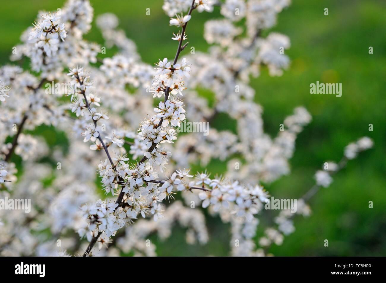 Blackthorn Strauch (Prunus spinosa), Eure-et-Loir Abteilung, Center-Val de Loire Region, Frankreich und Europa. Stockfoto