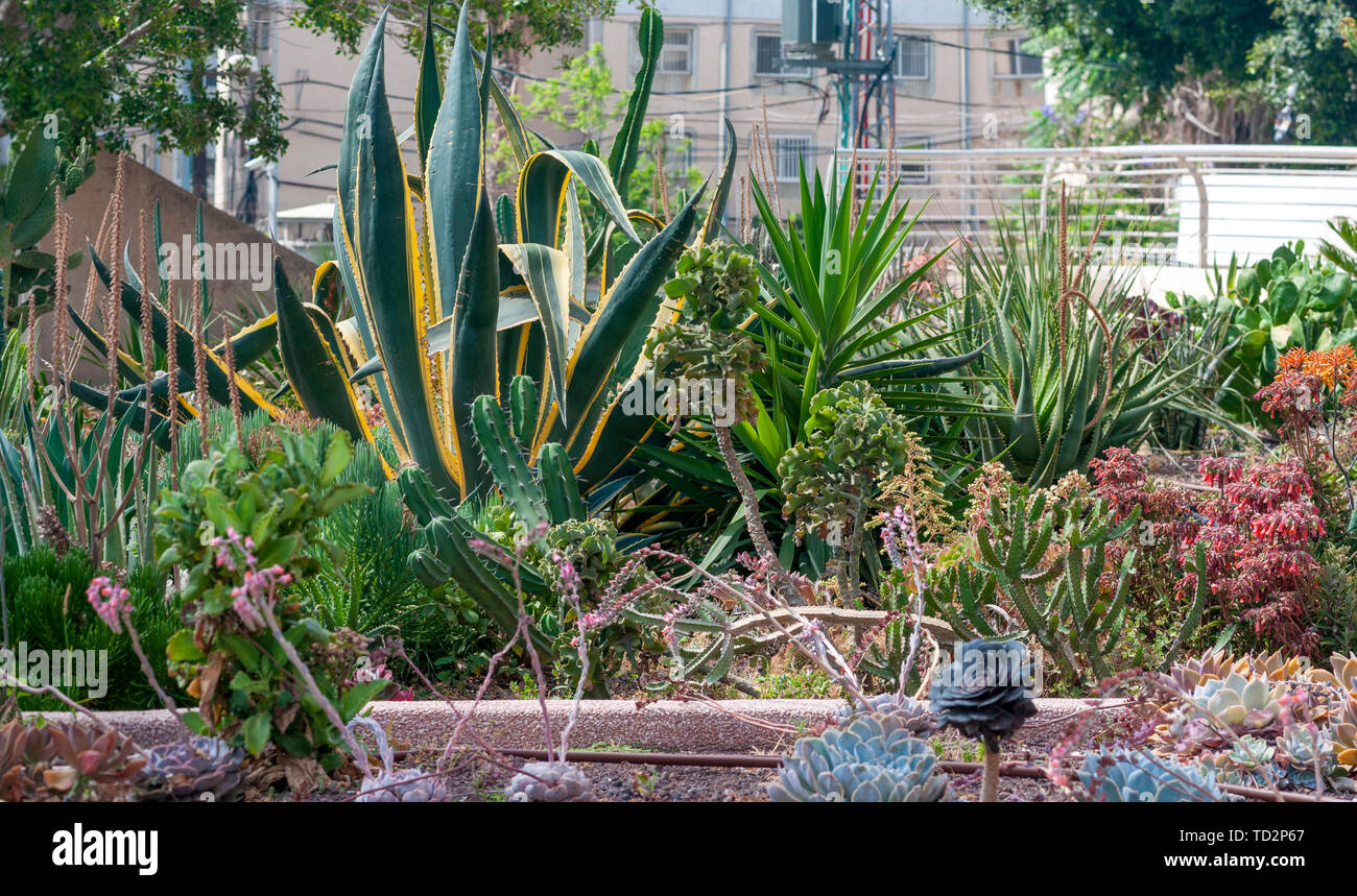 Sansevieria trifasciata in einem Kakteen und Sukkulenten Garten fotografiert in Tel Aviv, Israel im Mai Stockfoto