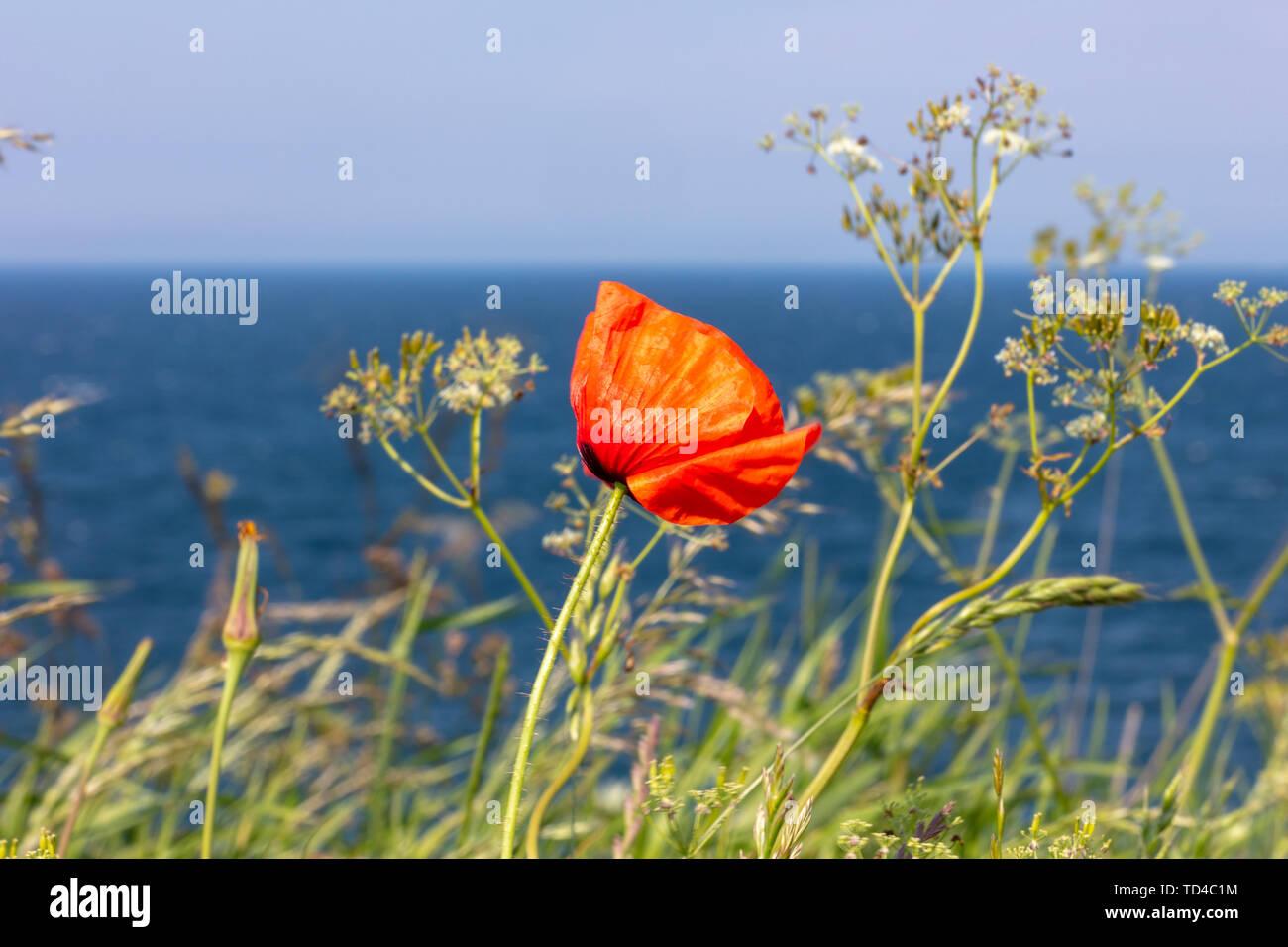Ein roter Mohn steht an der Steilküste am Meer Stockfoto