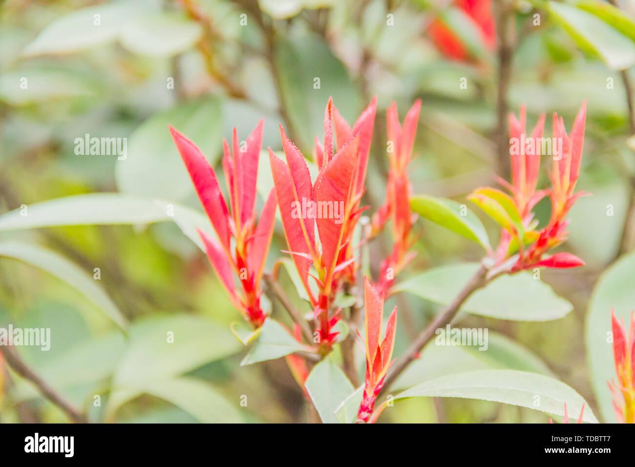 Rote Blätter, Knospen im Süden der Stadt. Stockfoto