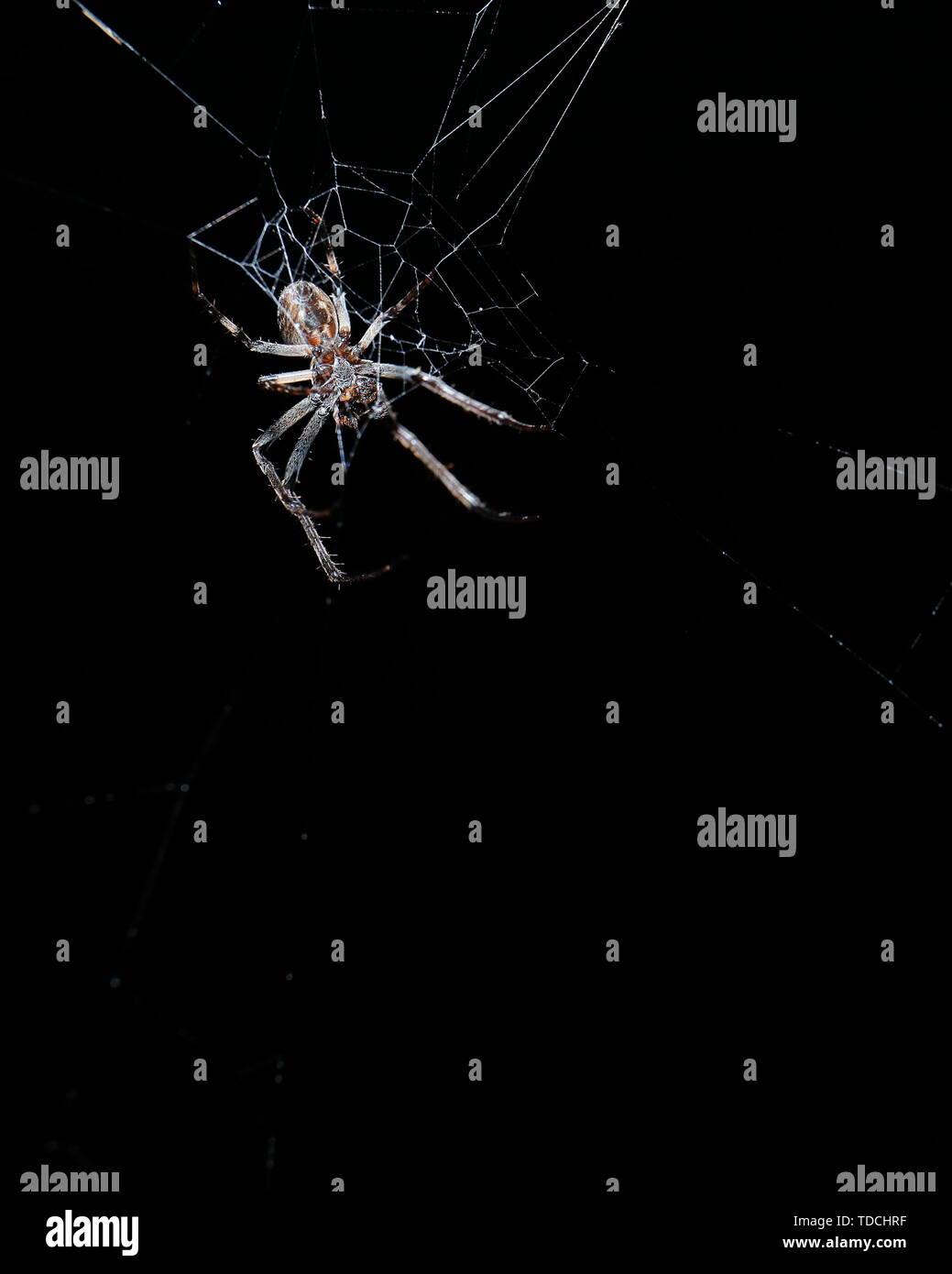 Große braune Spinne im Zentrum von Web vor einem schwarzen Hintergrund Stockbild