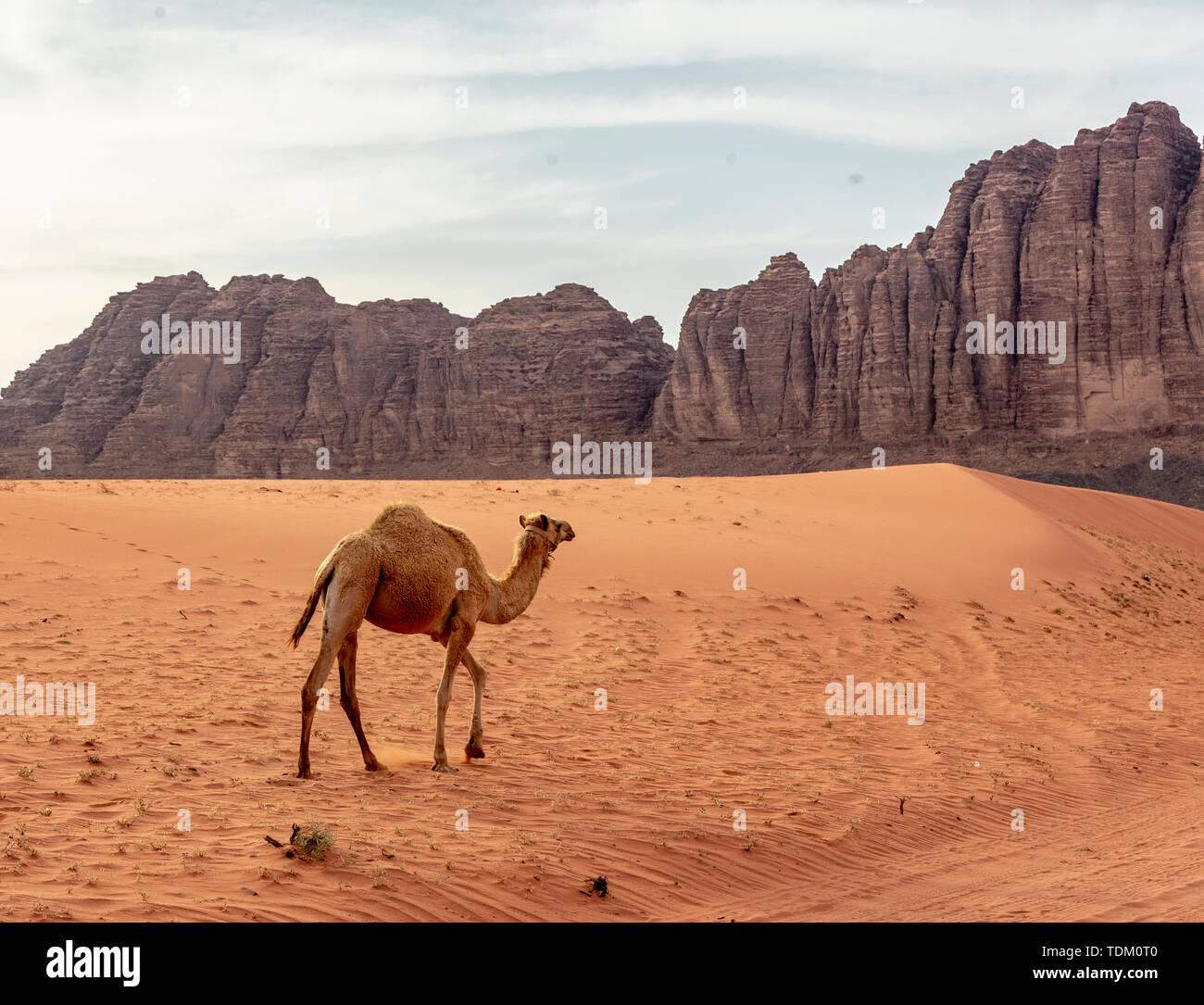 Einsame Wild Camel Spaziergänge über den Sand in der Nähe des Wadi Rum. Stockfoto
