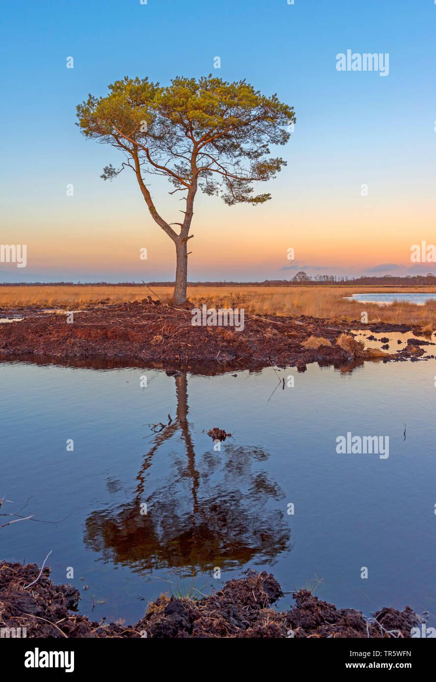 Foehre, Waldkiefer, Wald-Kiefer, Gemeine Kiefer (Pinus sylvestris), Kiefer im Teufelsmoor im Abendlicht, ein industriell abgetorftes Hochmoor. Wiederv Stockbild
