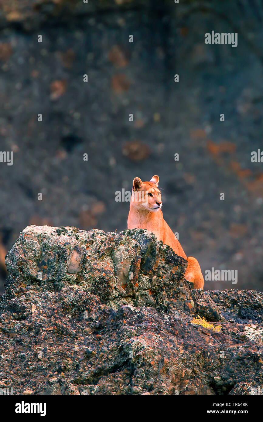 Profelis Concolor Stockfotos & Profelis Concolor Bilder Alamy