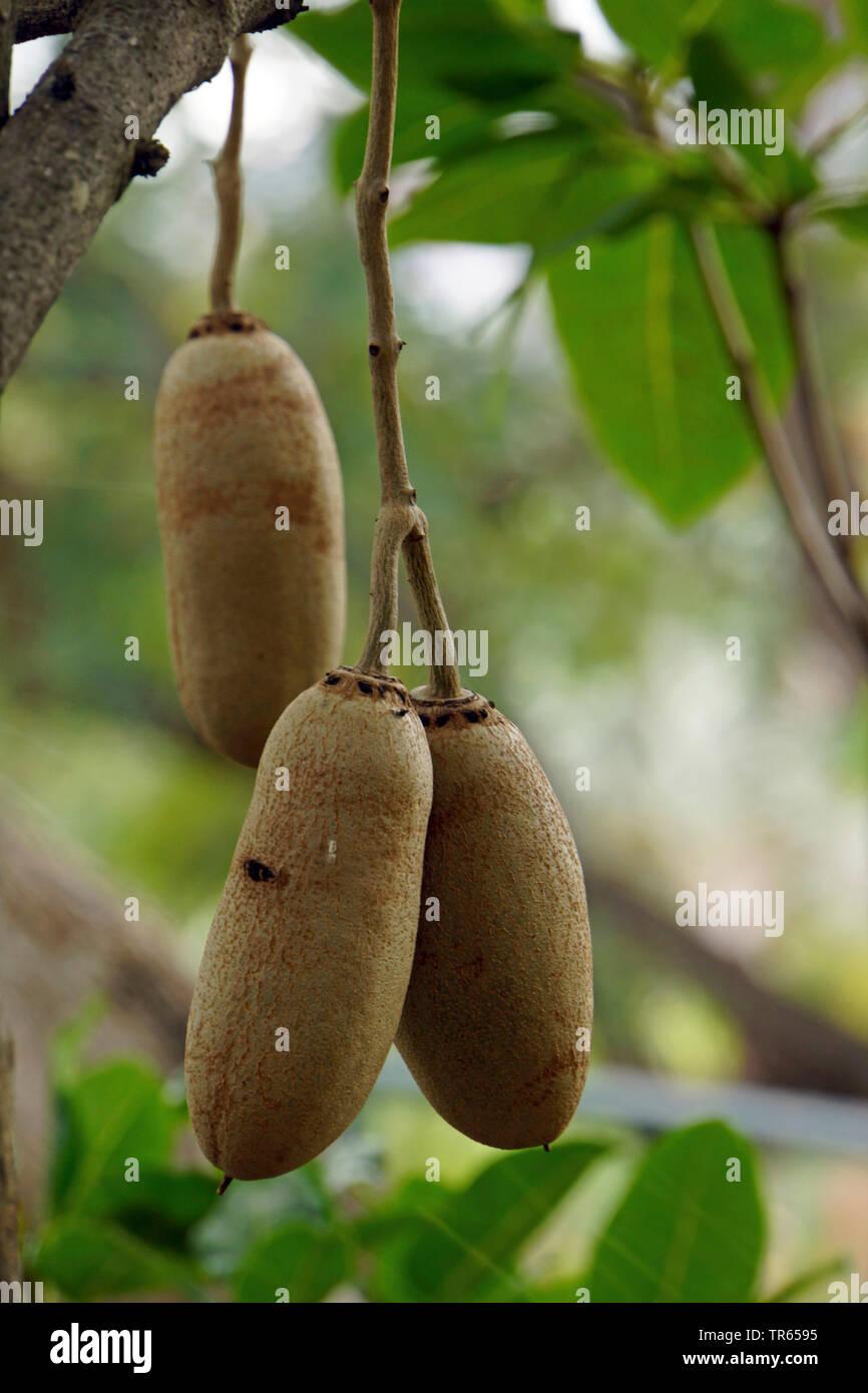 Wurst Baum (Kigelia Africana), Obst, Portugal, Madeira Stockbild