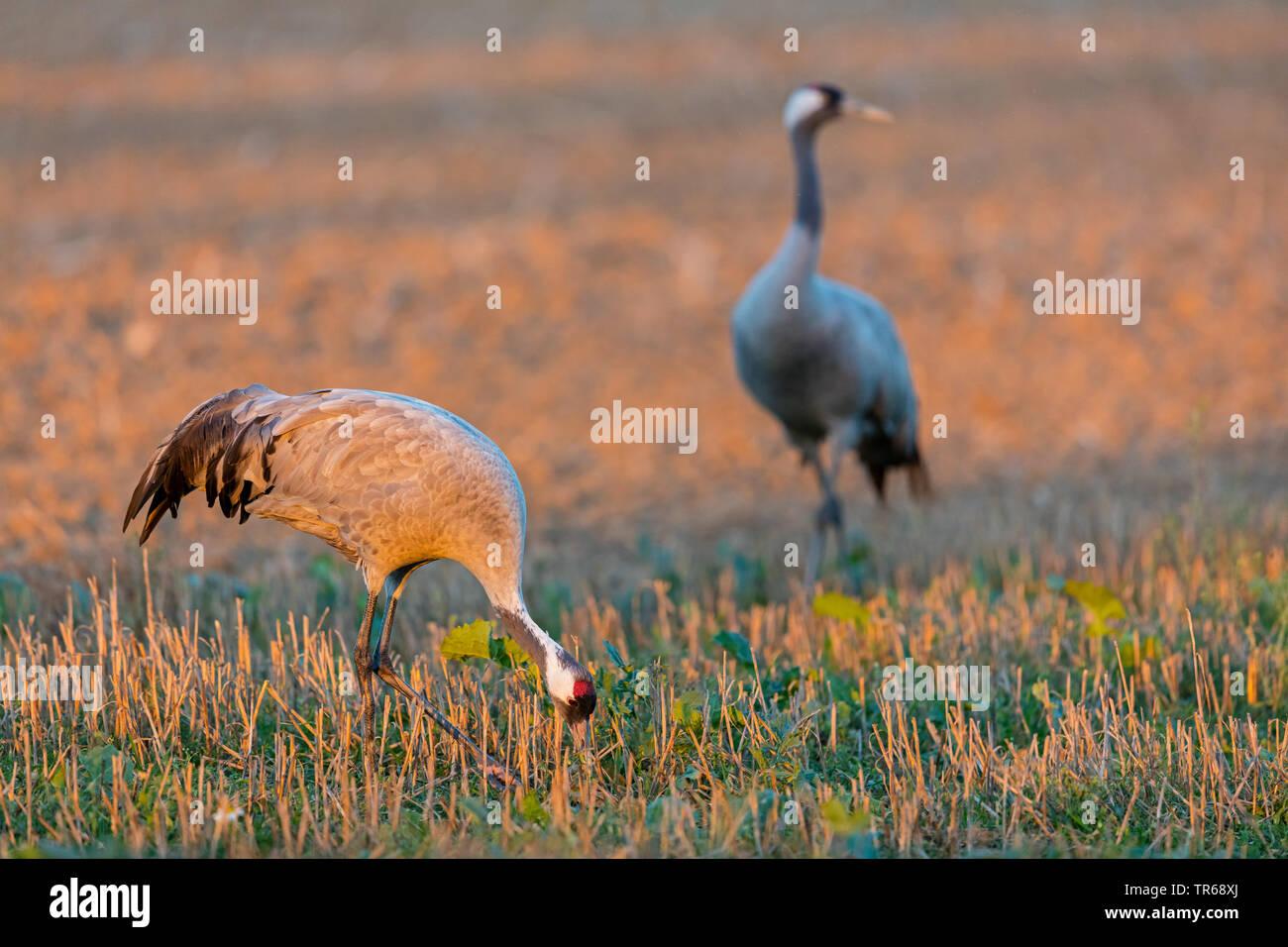 Kranich, Eurasische Kranich (Grus Grus), zwei Krane auf einen Drei-tage-Feld, Deutschland, Mecklenburg-Vorpommern Stockbild