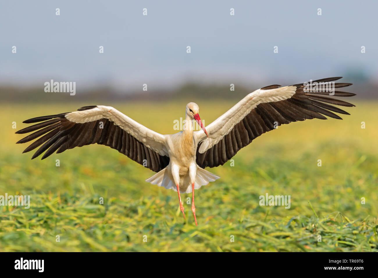 Weißstorch (Ciconia ciconia), Landung in einem Maisfeld, Israel Stockbild