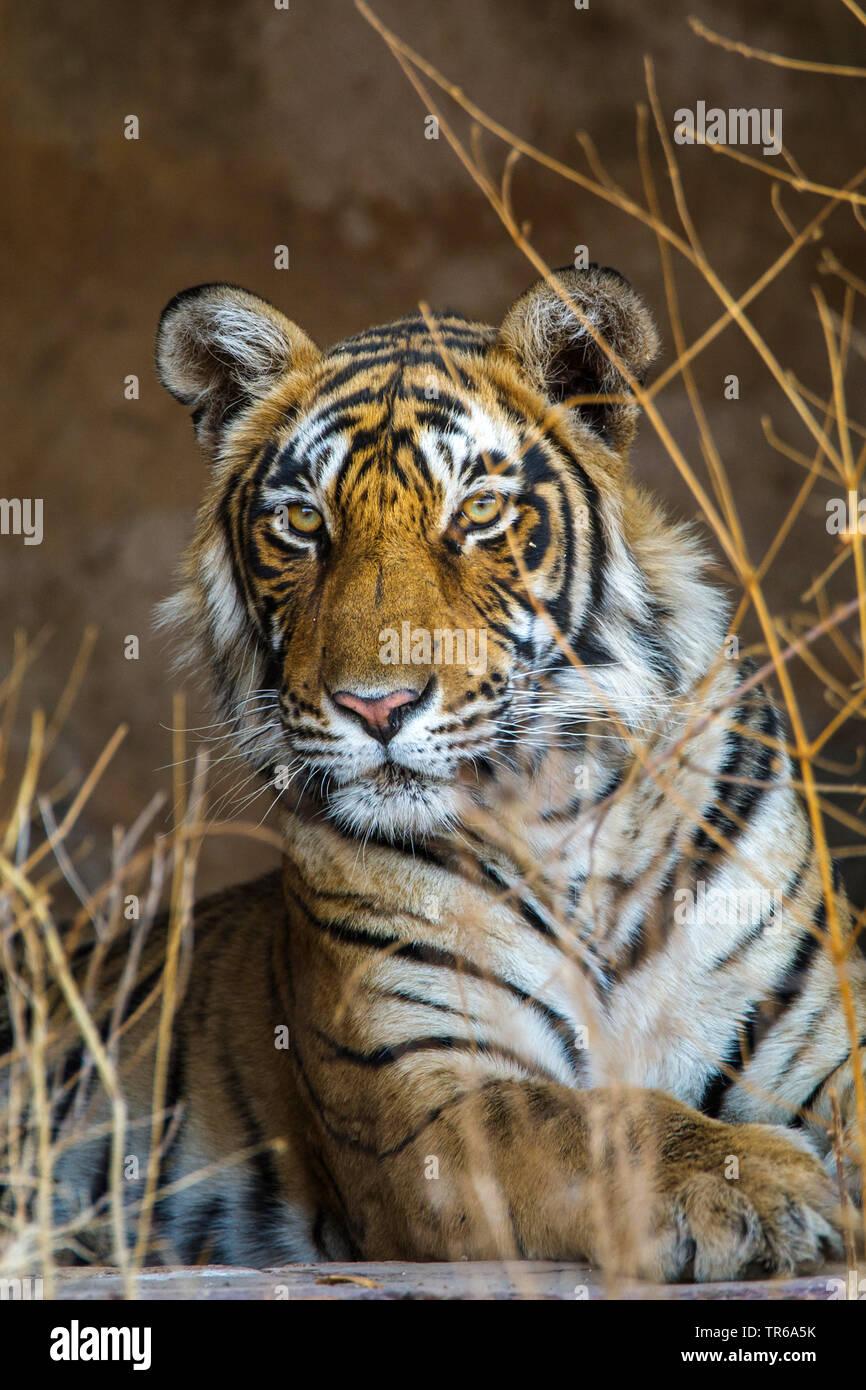 Koenigstiger, Indischer Tiger Bengaltiger (Panthera tigris tigris), Tigerin, Mutschili Halbportraet, Indien, Ranthambore Nationalpark, Radjasthan | B Stockbild