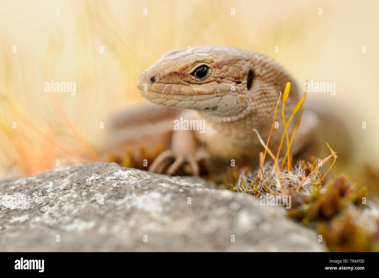 Lebendgebärenden Eidechse, gemeinsamen europäischen Eidechsen (Lacerta vivipara, Zootoca Vivipara), Porträt, Seitenblick, Deutschland Stockfoto