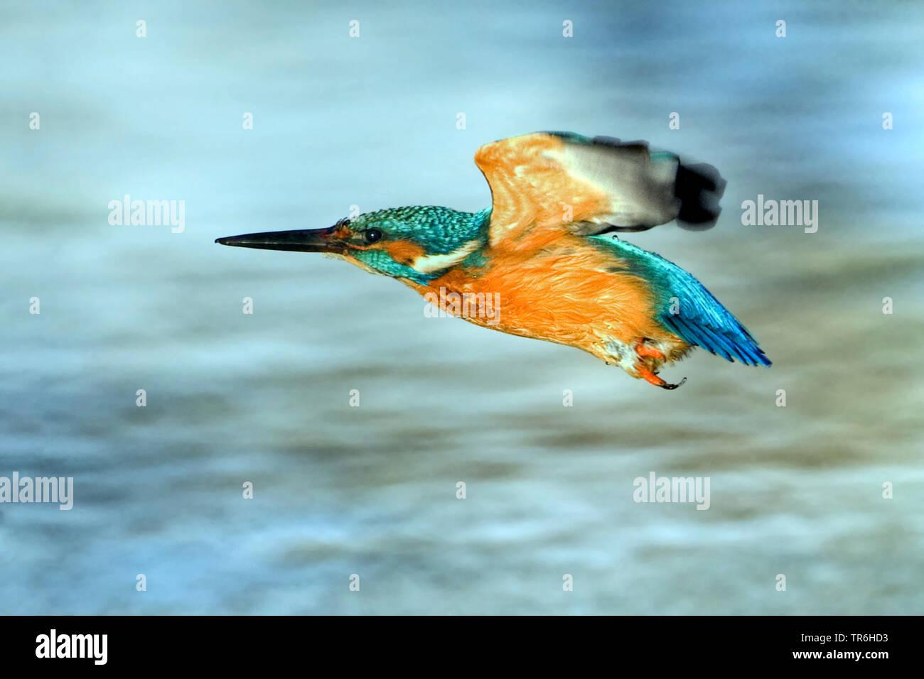 Fluss Eisvogel (Alcedo atthis), männlich im Flug über Gewässer, Deutschland, Nordrhein-Westfalen, Bergisches Land Stockfoto