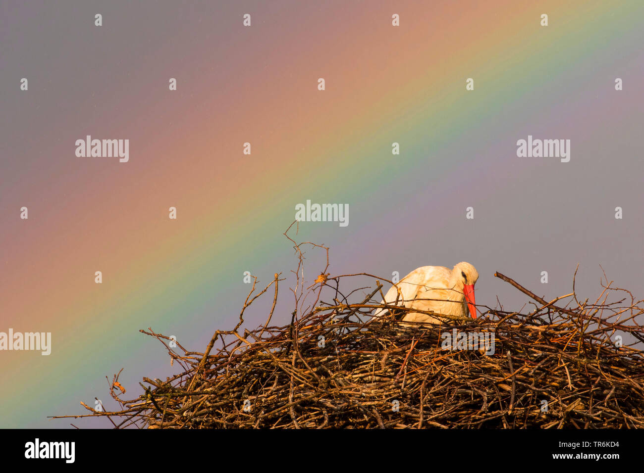 Weissstorch, Weiss-Storch (Ciconia ciconia), sitzt in seinem Horst vor einem Regenbogen, Schweiz, Sankt Gallen   Weißstorch (Ciconia ciconia), siiti Stockbild