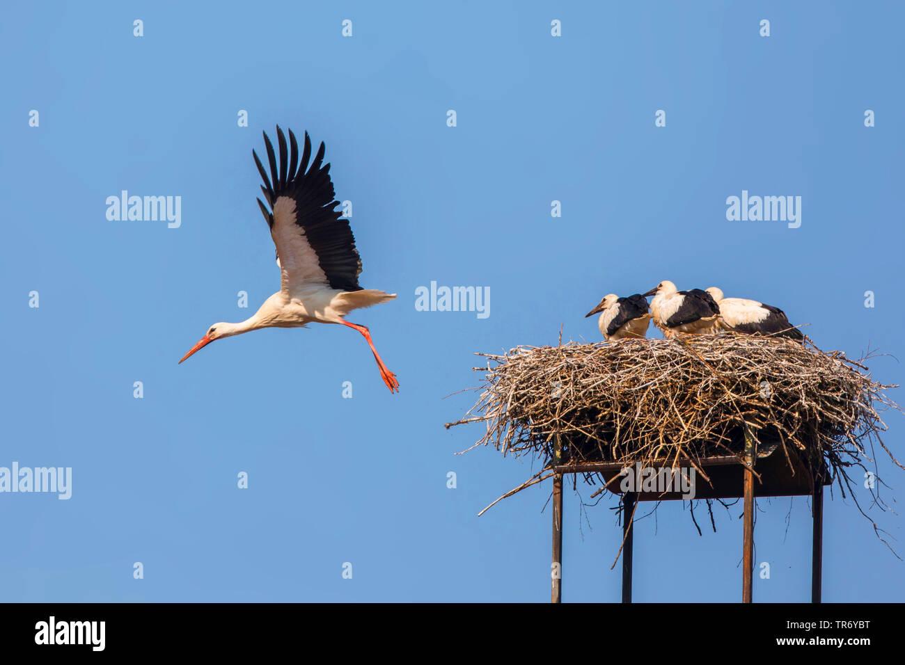 Weissstorch, Weiss-Storch (Ciconia ciconia), vom Storchennest mit Storchenkindern abliegender Altvogel, Deutschland, Bayern   Weißstorch (Ciconia c Stockbild