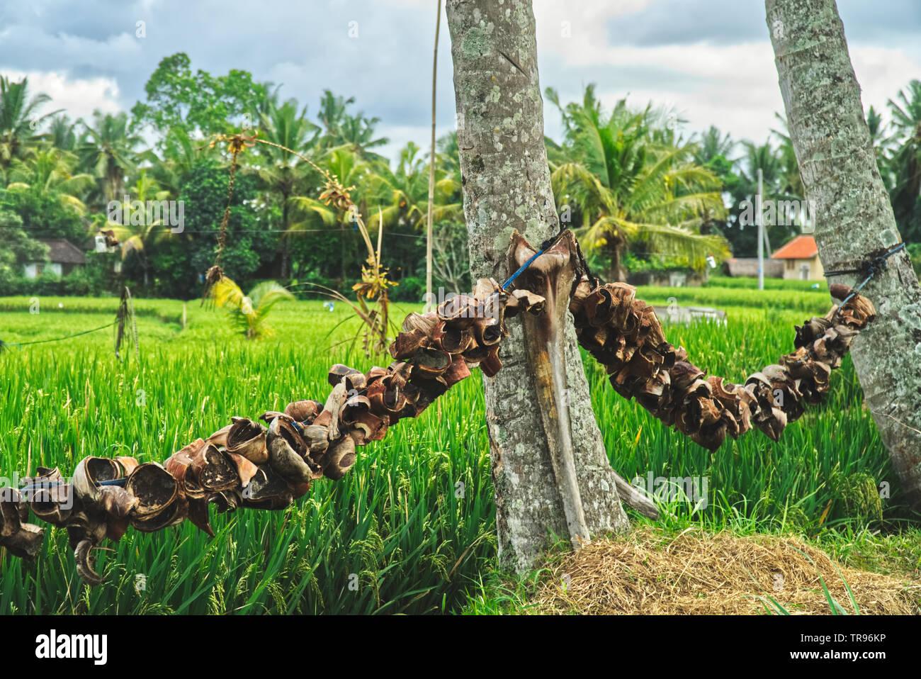 Kokosnuss Schalen trocknen auf eine Linie in der Sonne in der Nähe von Reisfeldern in Indonesien Stockfoto