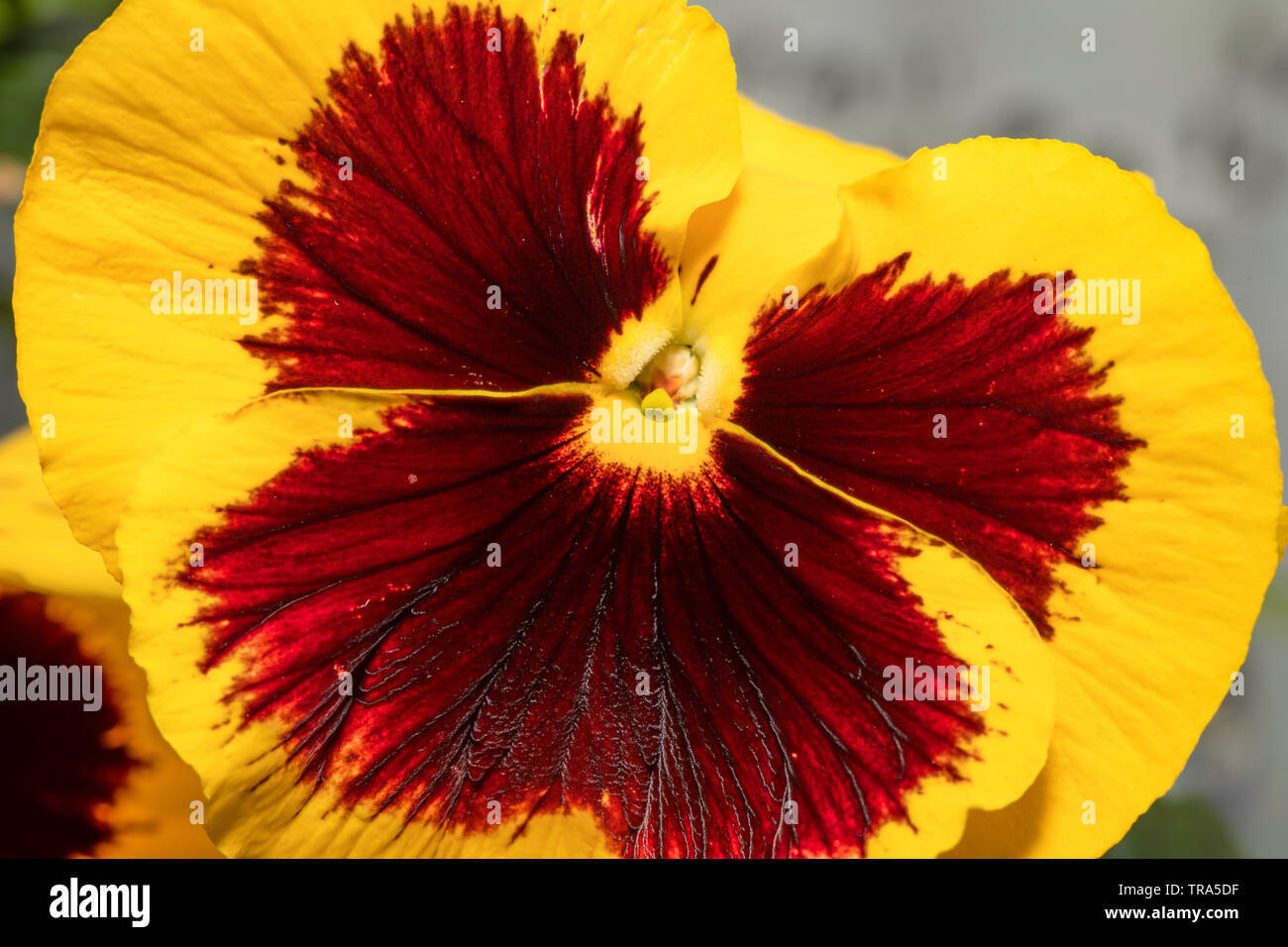 Gelbe Stiefmütterchen Blume innen, Staubgefäße und Pollen und Blütenblätter. Ganzer Bildschirm Hintergrund, Wallpapers. Stockbild