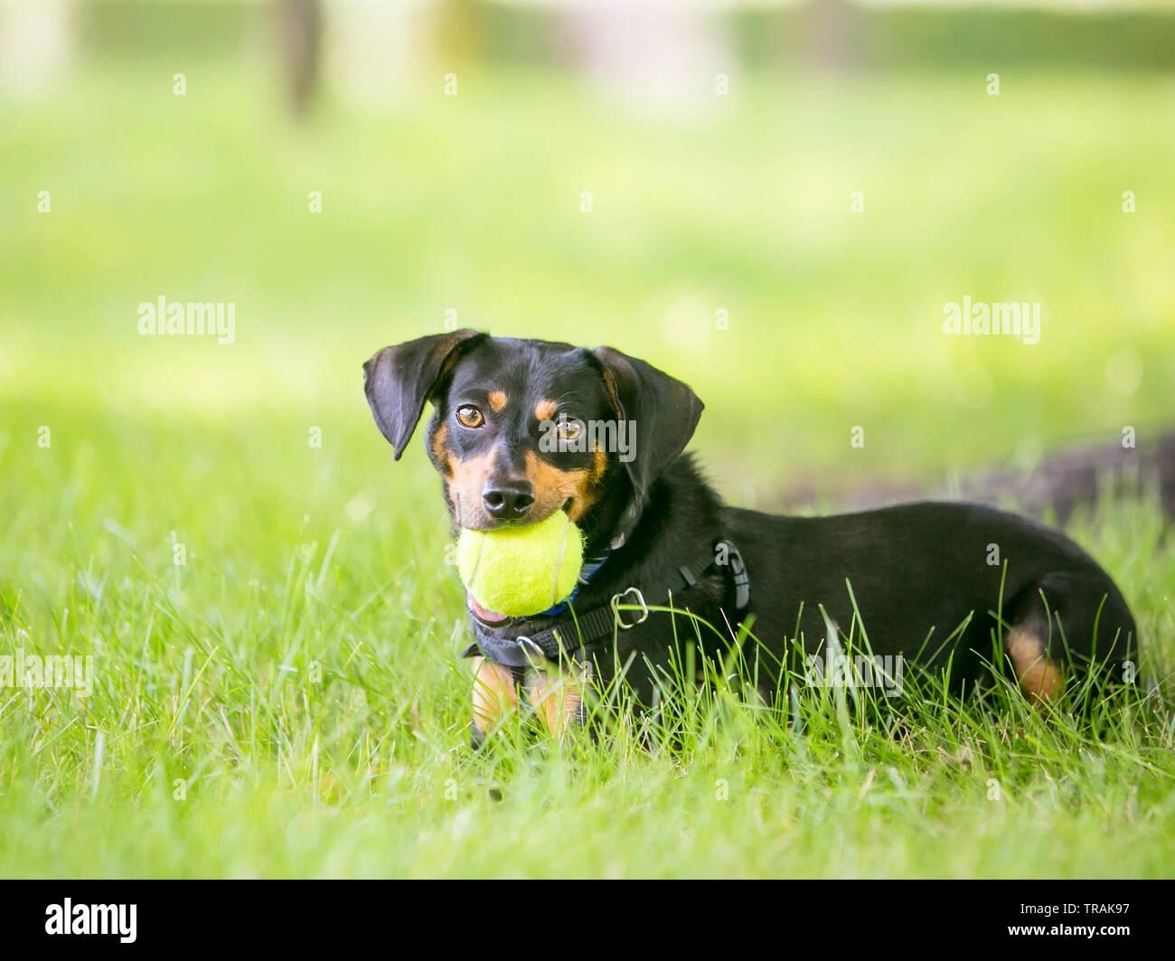 Eine schwarze und rote Dackel Mischling Hund liegend im Gras und mit einem Ball im Maul Stockfoto