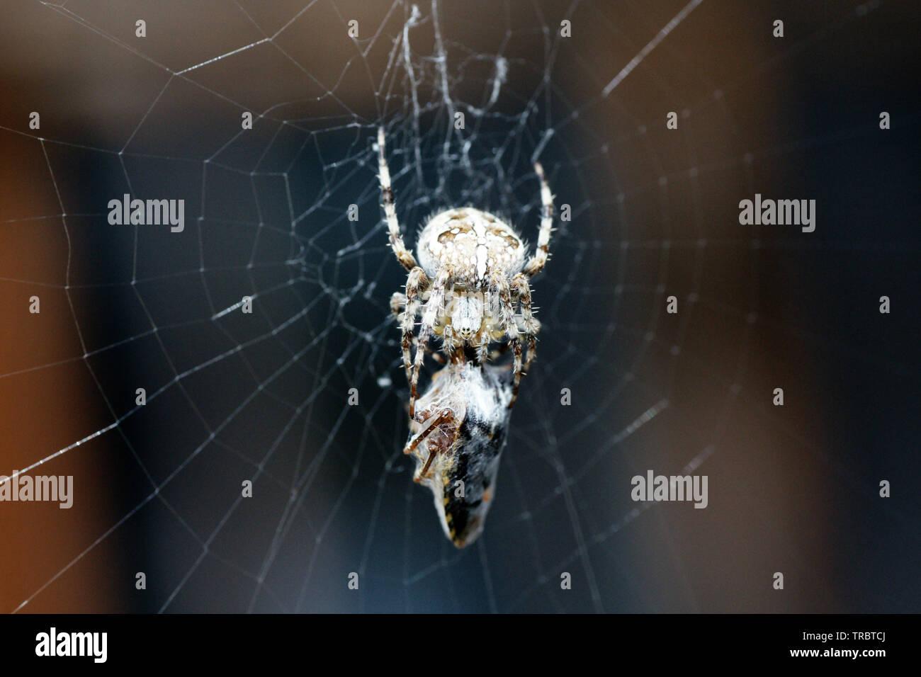Kreuzspinne mit eingesponnener Wanze im Netz Stockfoto