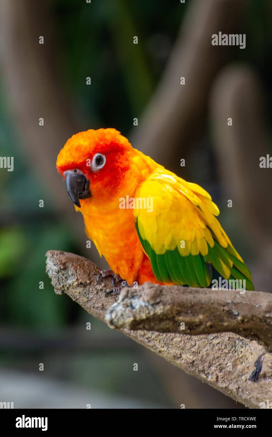 Die sonne Sittich schönen Farben von gelb, orange und rot (Aratinga solstitialis), auch bekannt als die Sonne Sittiche in Südamerika in einem Baum gehockt. Stockfoto