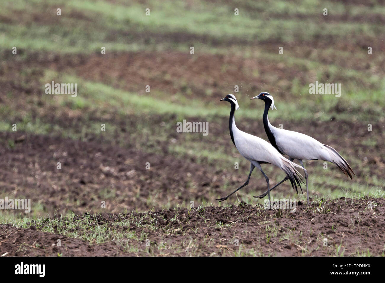Jungfernkranich (Anthropoides virgo, Jungfern-Kranich), zwei Kraniche im Balzkleid in einem Feld, Russland, Baikalsee | demoiselle Crane (Anthropoides v Stockbild