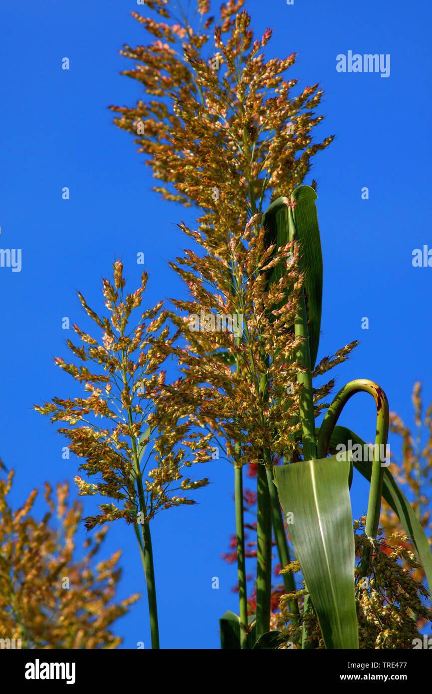 Besen - Mais, Besensorgho (Sorghum bicolor), Rispen, Deutschland Stockfoto