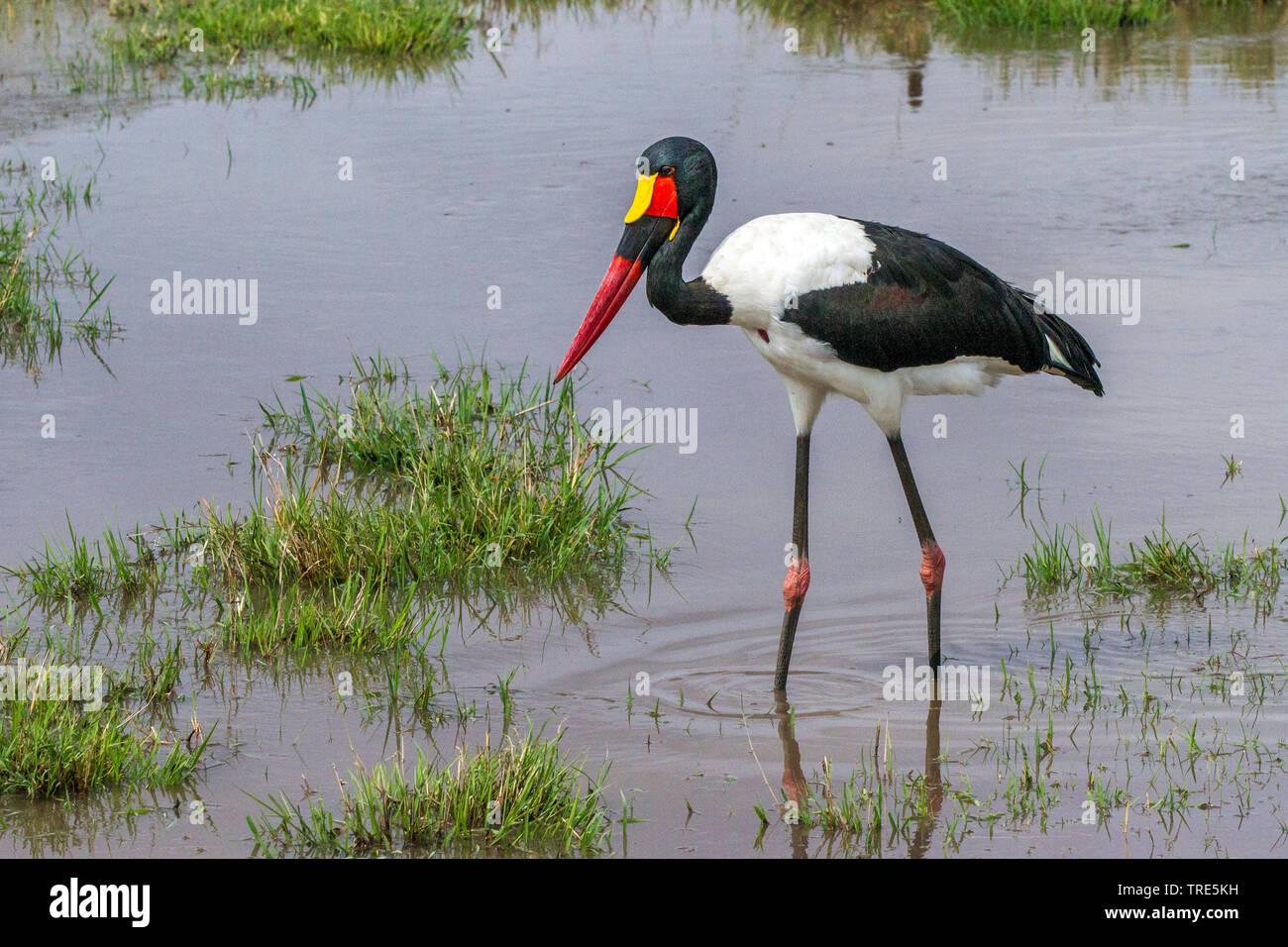 Sattel-rechnung Stork (Ephippiorhynchus senegalensis), der Nahrungssuche im flachen Wasser, Seitenansicht, Kenia, Masai Mara National Park Stockfoto