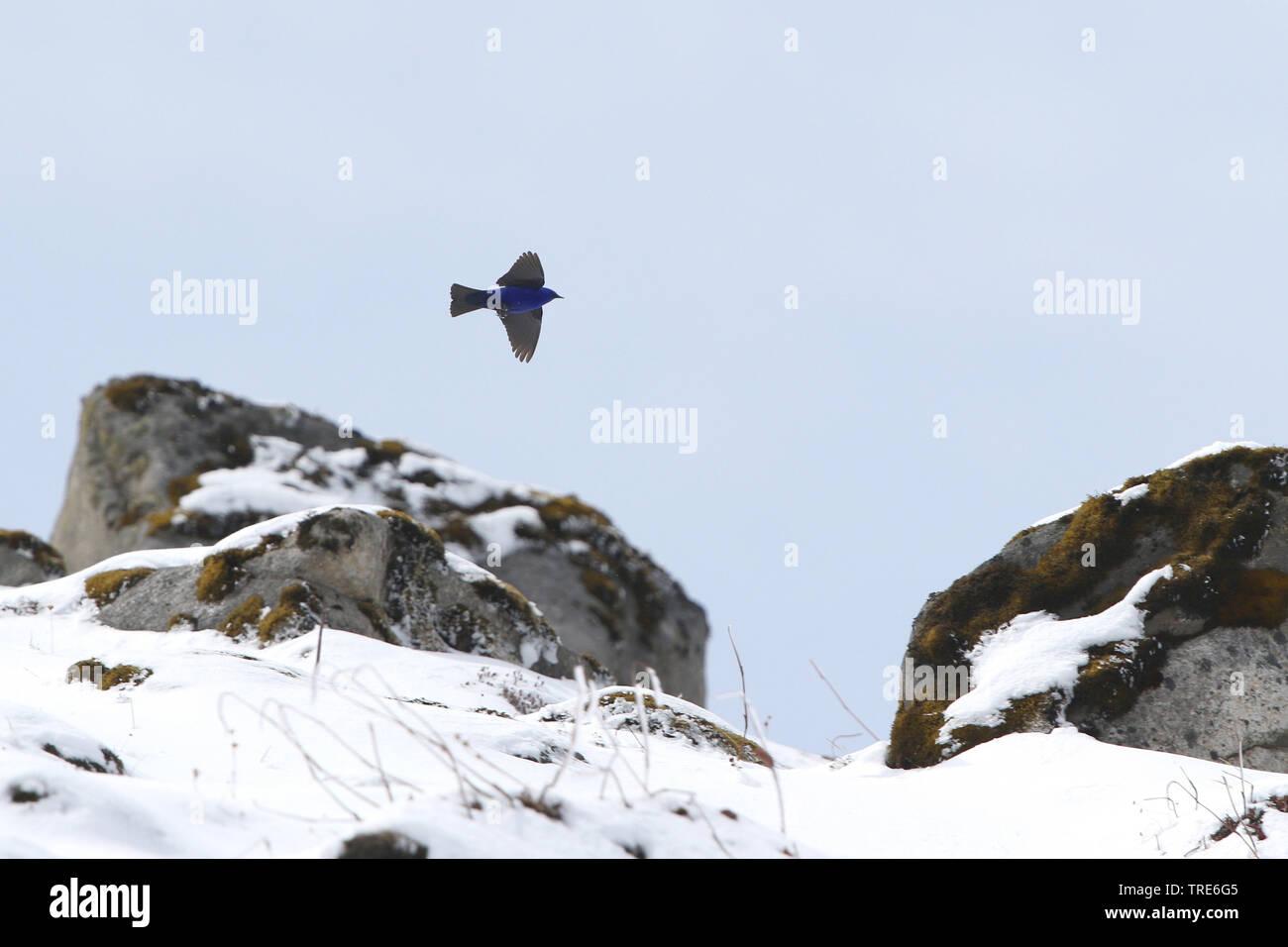(Grandala Grandala coelicolor), im Flug, Indien, Arunachal Pradesh, Se La   Hodgson grandala (Grandala coelicolor), im Flug bei Se La, Indien, Aruna Stockbild