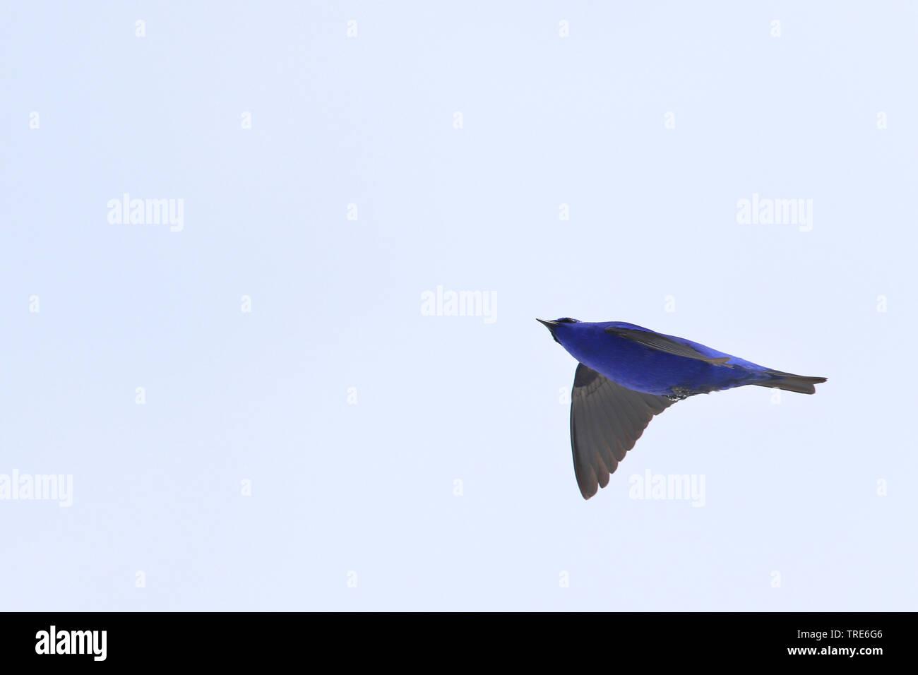 (Grandala Grandala coelicolor), im Flug, Indien, Arunachal Pradesh, Se La | Hodgson grandala (Grandala coelicolor), im Flug bei Se La, Indien, Aruna Stockbild