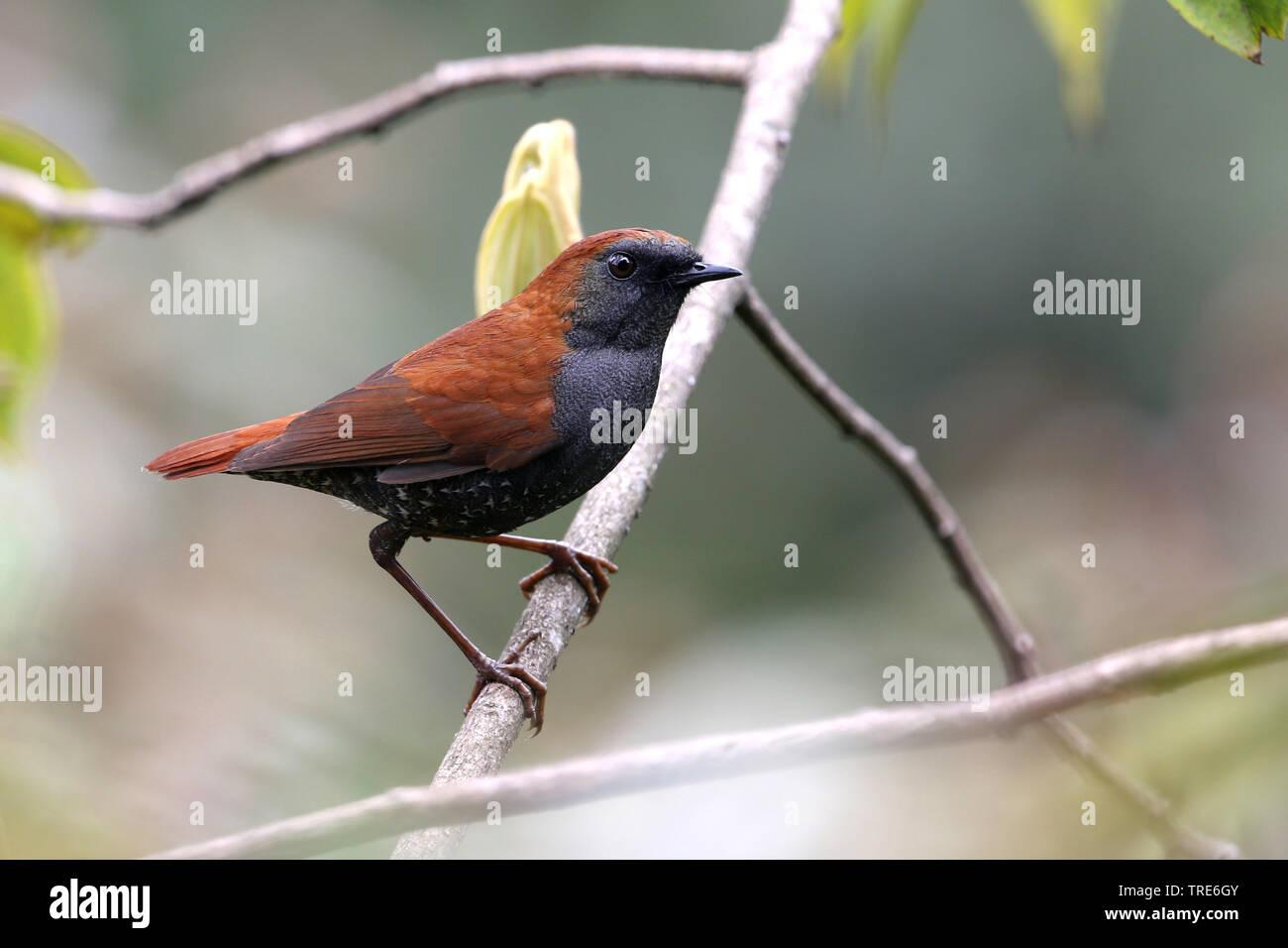 Braunruecken-Kurzfluegel, Braunrueckenkurzfluegel (Heteroxenous stellata), sitzt in einem Zweig, Indien, Arunachal Pradesh, Mishmi Hügeln   Gould sh Stockbild