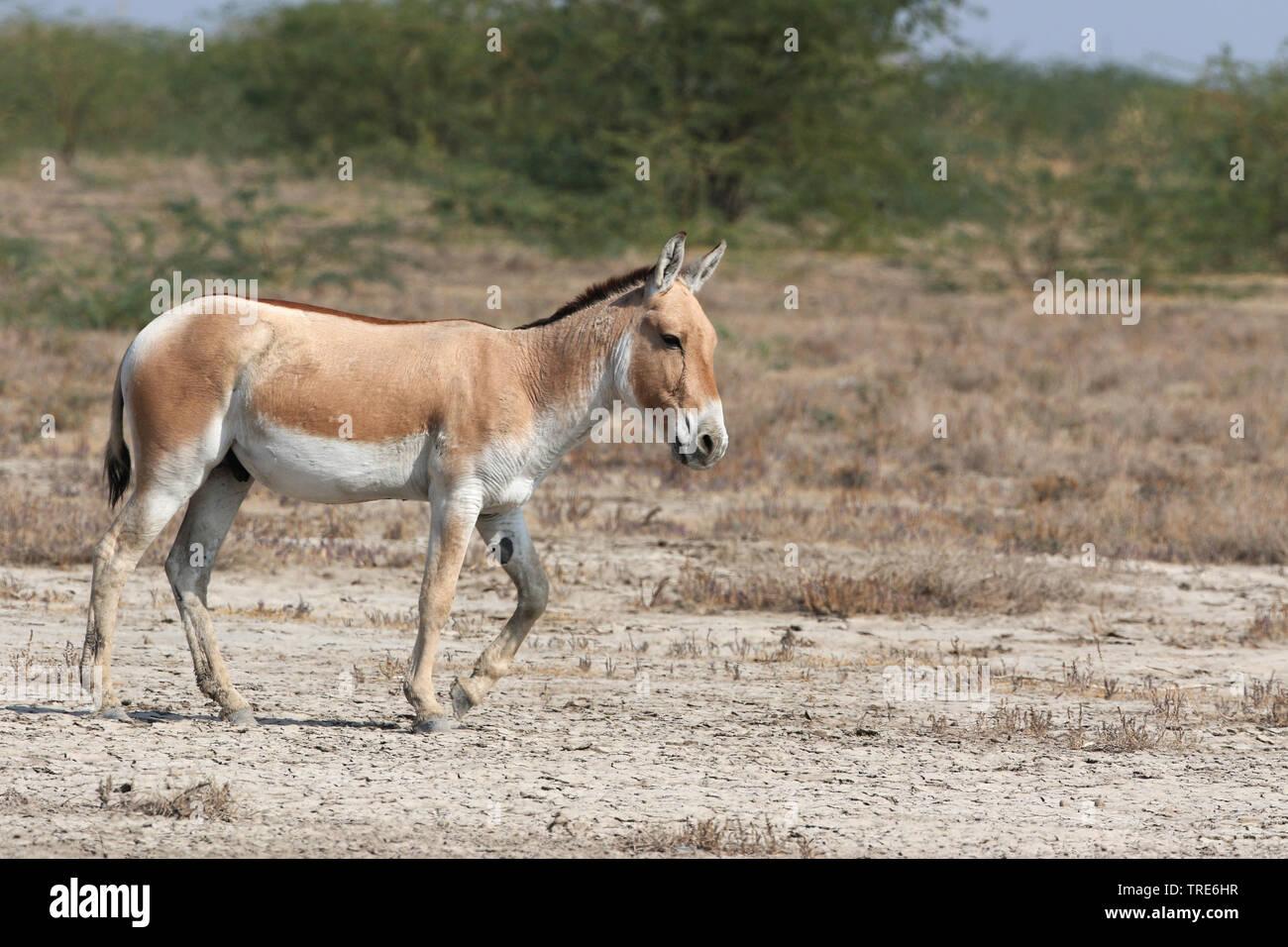 Asiatischer Halbesel, Onager, Kulan (Equus hemionus), holzbilderrahmen, Indien, wenig Rann von Kutch | Kulan, Khur, Onager, Dziggetai (Equus hemionus), standin Stockbild