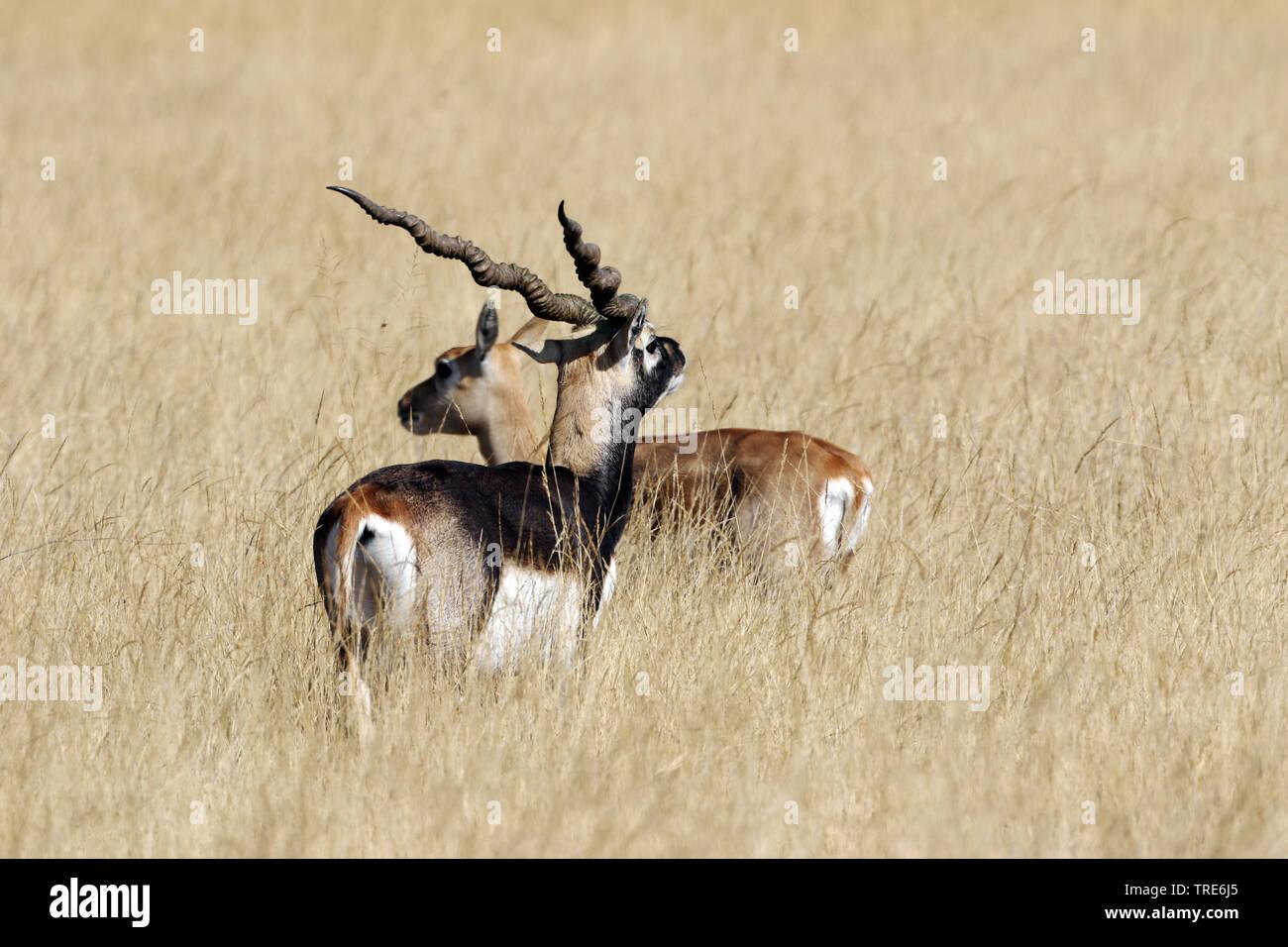 Hirschziegenantilope, Hirschziegen-Antilope (Antilope cervicapra), Maennchen und Weibchen stehen im trockenen Gras der Savanne, Indien, Tal Chhapar | Stockbild